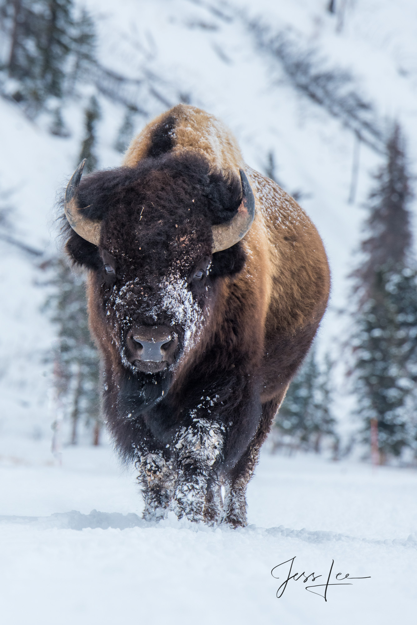 Yellowstone Bison or American Buffalo in Winter. A Limited Edition of 800 Prints.  Yes I did think he was going to crush me....