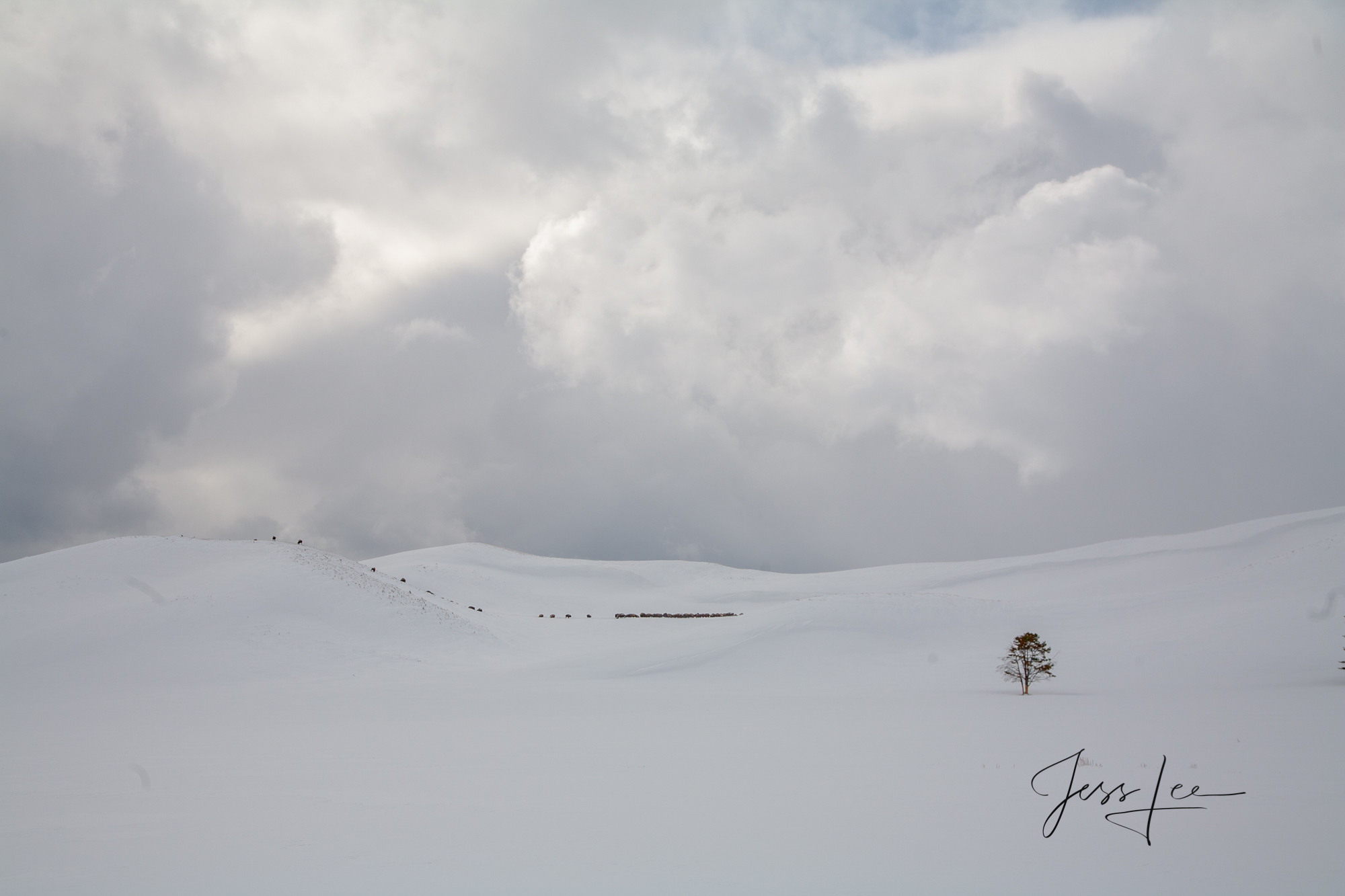 Yellowstone Bison in secluded valley in the winter wilderness of Hayden Valley. A Limited Edition of 800 Prints. These Basin...