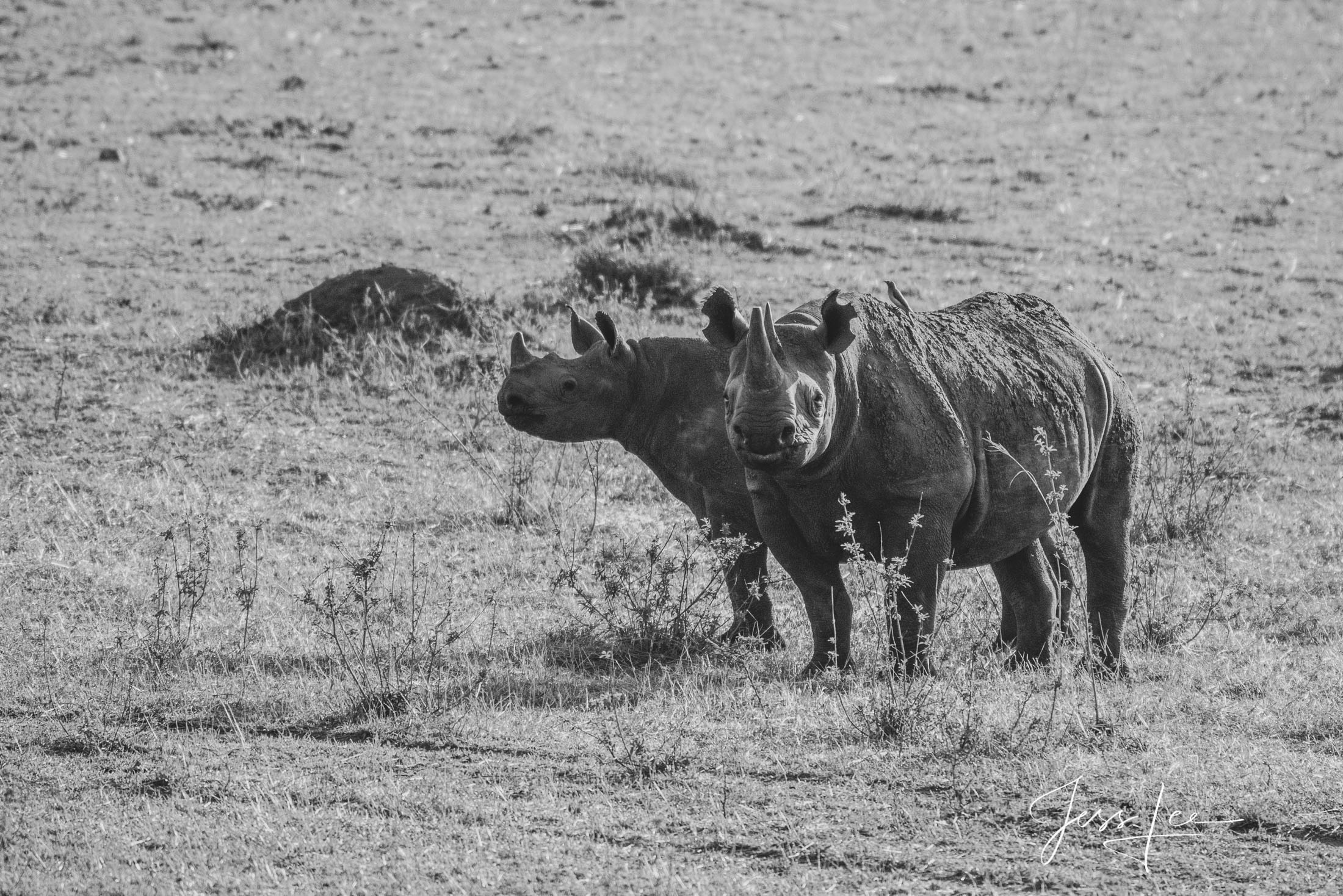 Black and White photo of African Black Rhino and Young.
