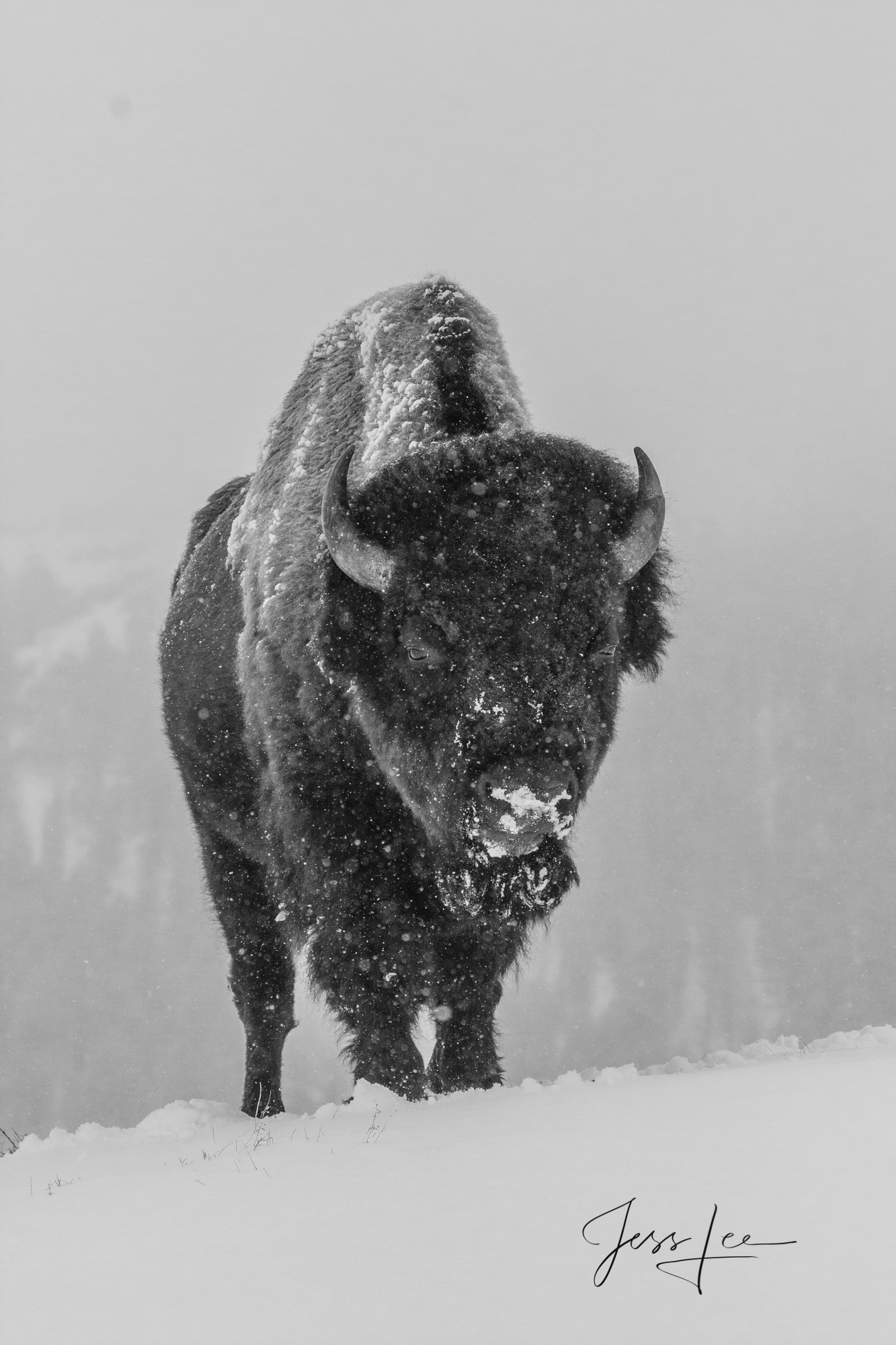 winter black and white photo of frozen buffalo Yellowstone, national park,, photo