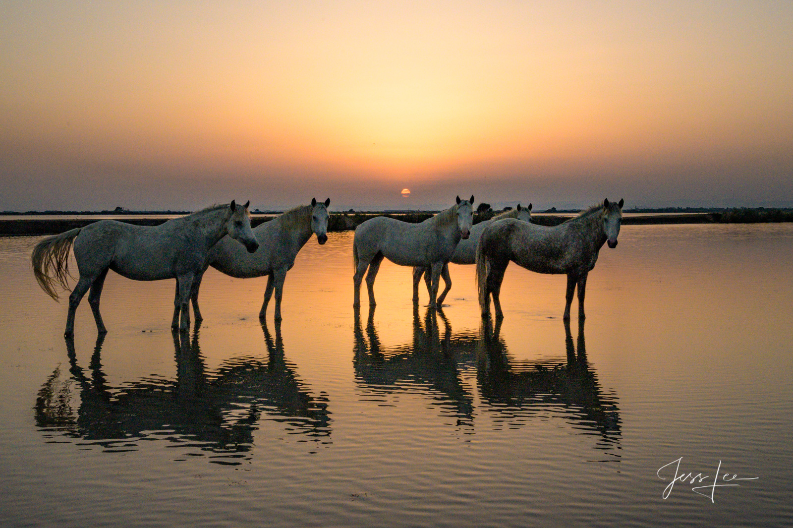 White, horses, sunrise, France,, photo