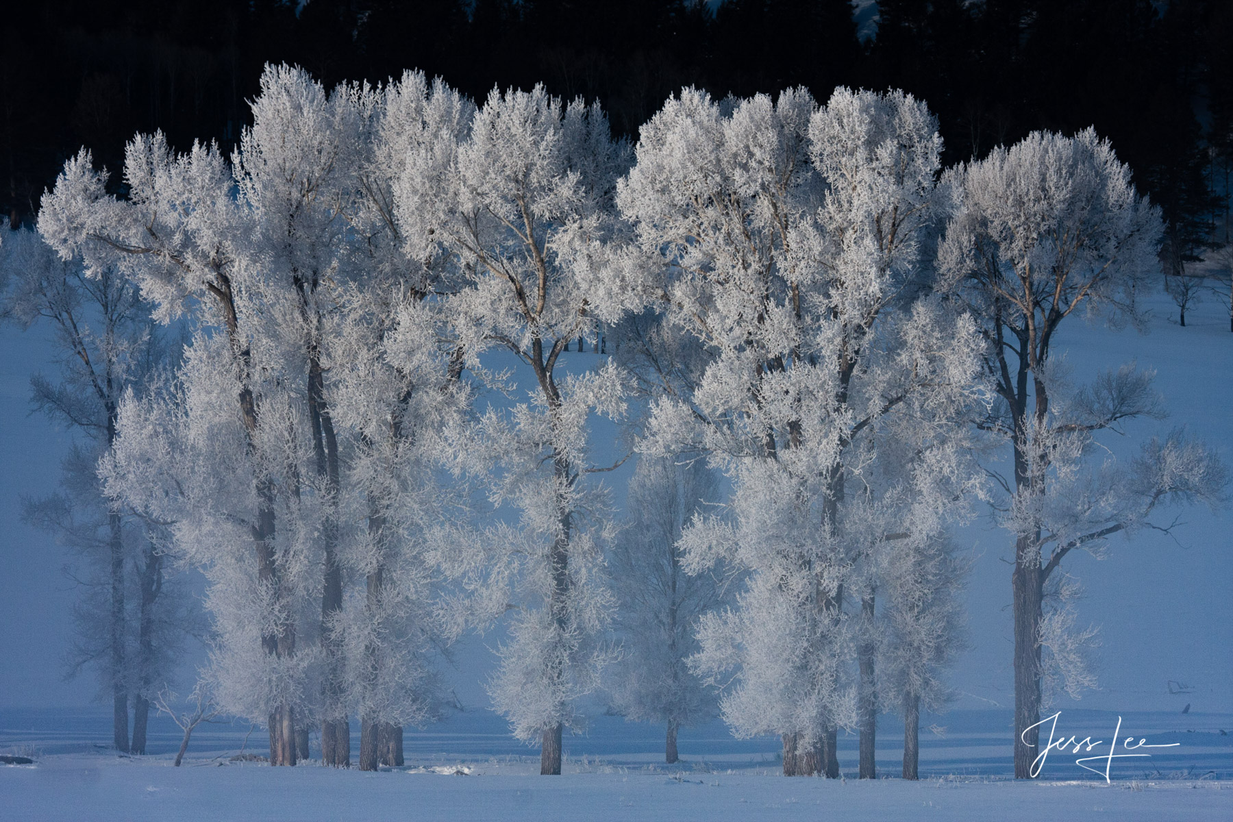 Fine Art Limited Edition of 200 Exclusive high-resolution Museum Quality Prints of minus 43 temperature frozen Cottonwood trees...