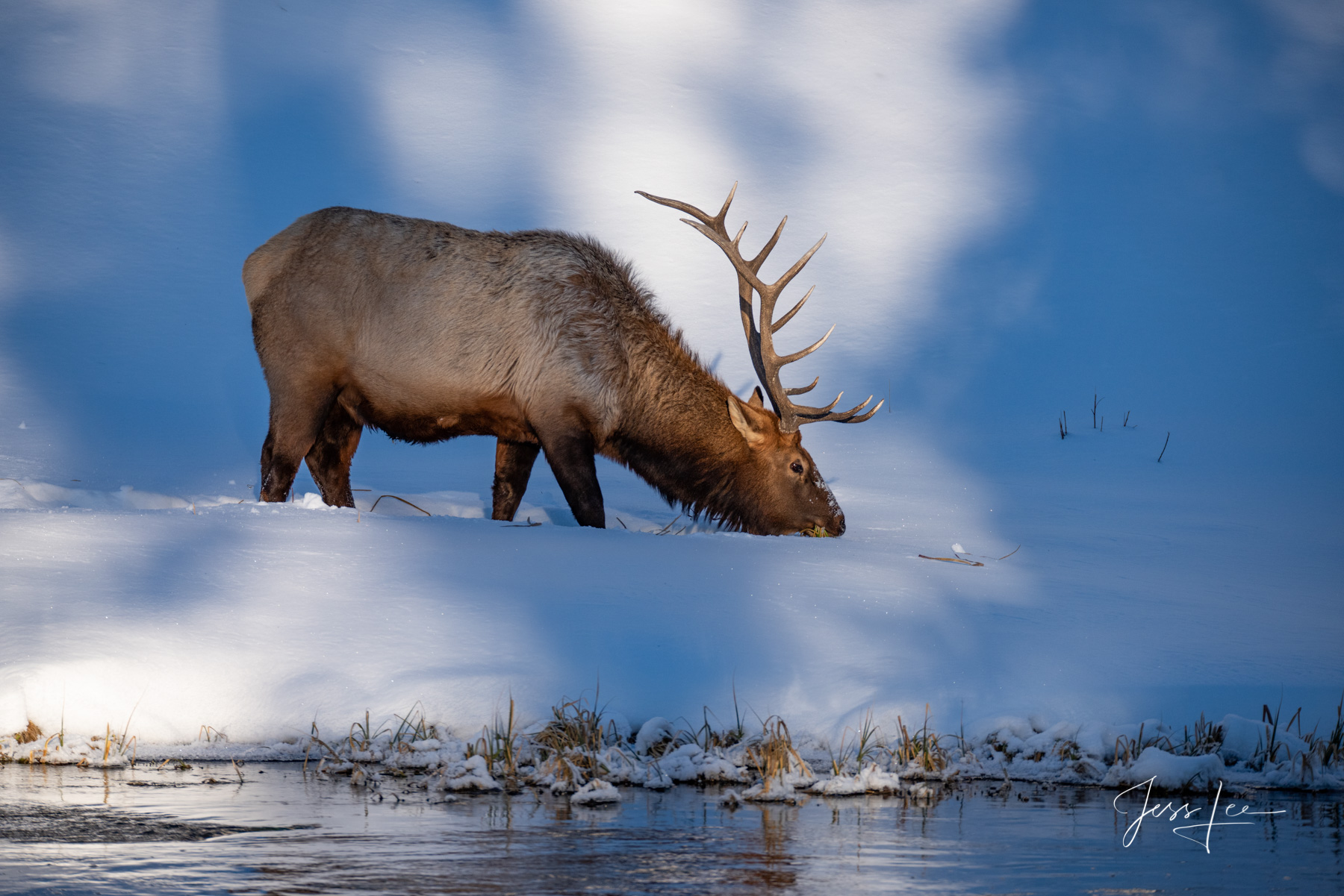 Yellowstone Wildlife Photography. Bull Elk in winter.  Fine Art Limited Edition of 800 Prints by Jess Lee
