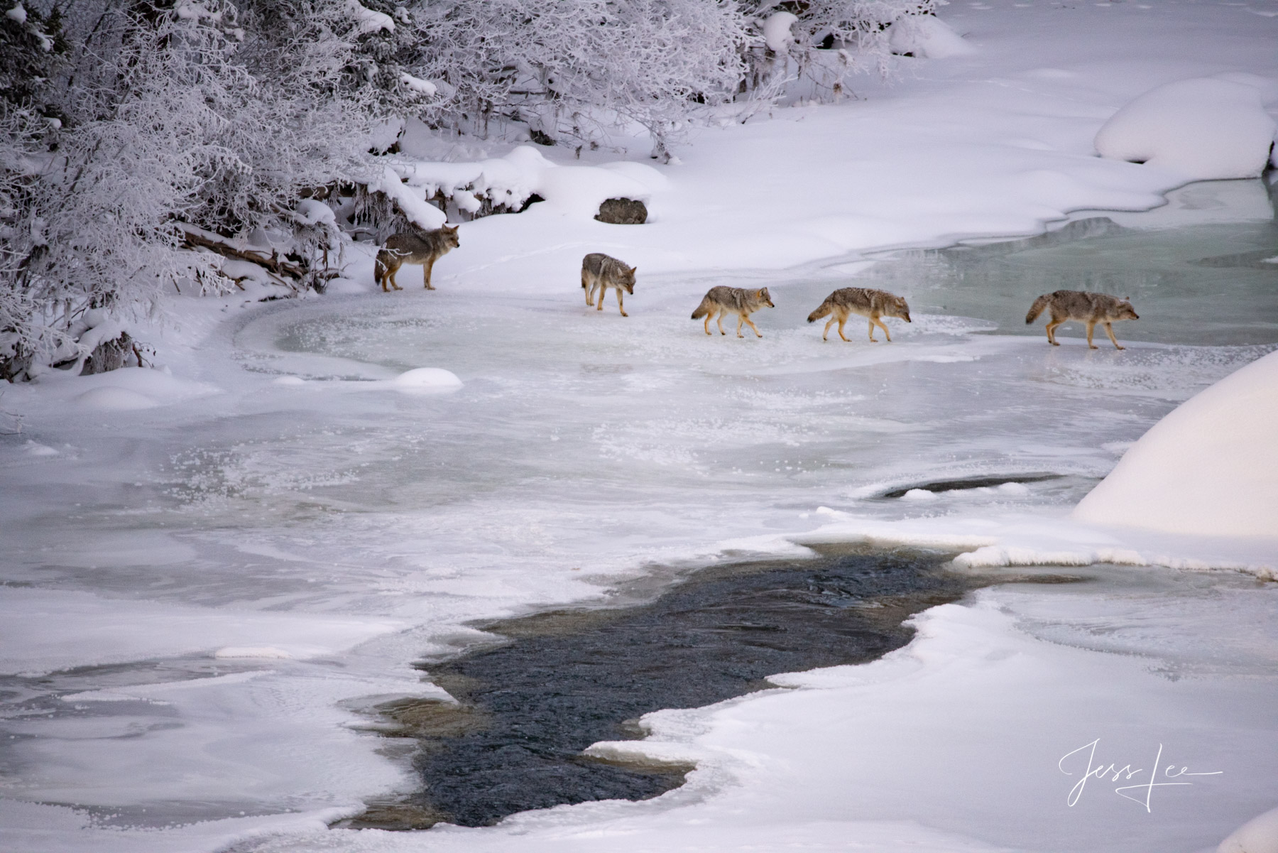 Yellowstone, winter, photography, wildlife, wolves, moose, elk, bison, otters, coyotes, snow, cold, awesome, jess lee, photography, , national park, photo