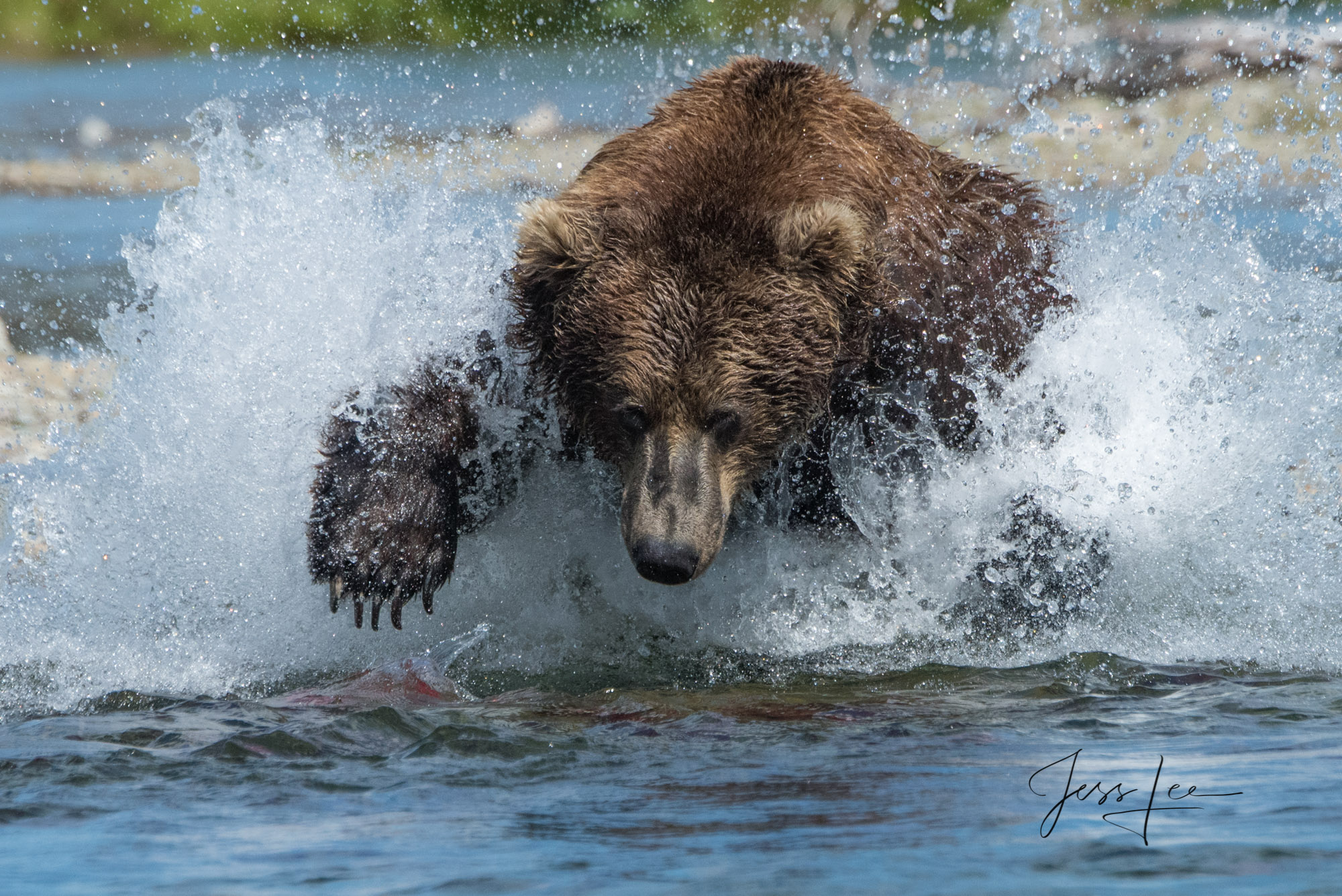 Grizzly bear hunting for salmon in Katmai National Park, Alaska