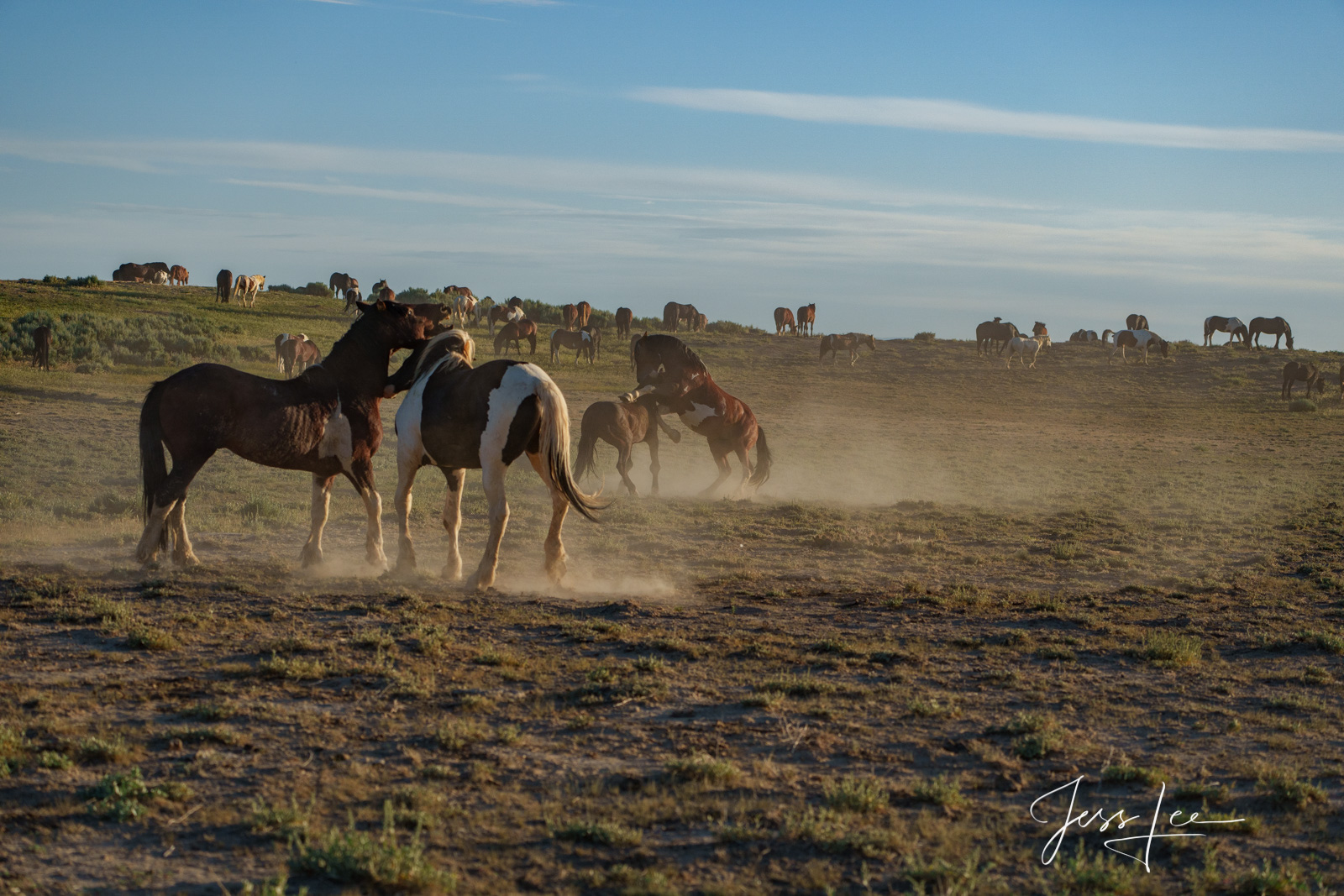 Fine Art Limited Edition Photography of Wild Herd of Mustang Horses. Wild Horses or Mustang herd fighting. This is part of the...