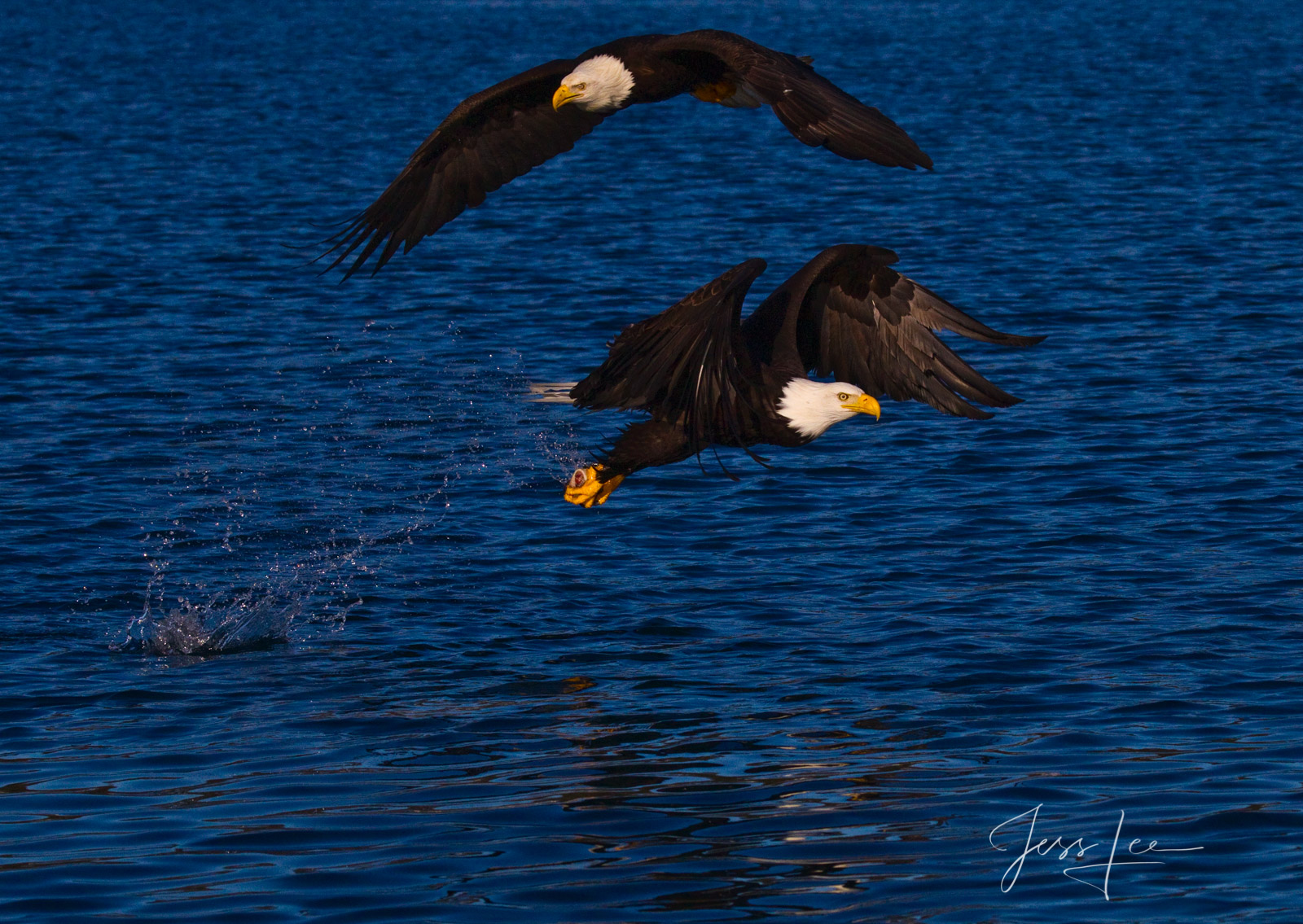 Bring home the power and beauty of the amazing fine art American Bald Eagle photograph Mine by Jess Lee from his Wildlife Photography...
