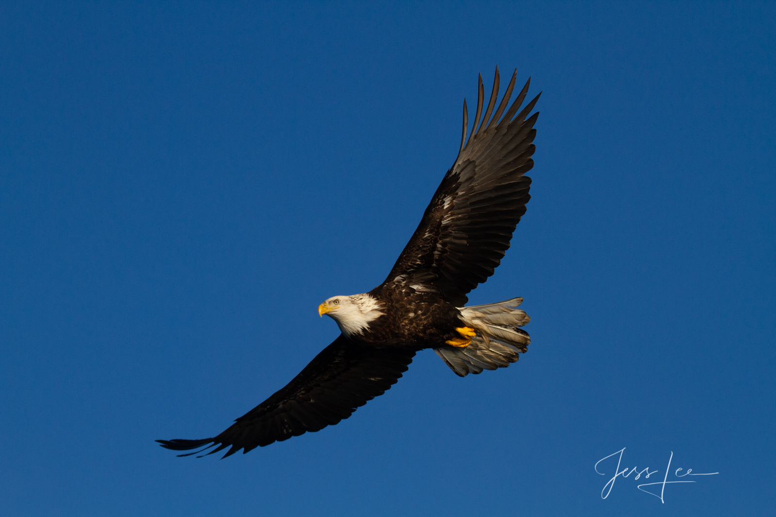 Bring home the power and beauty of the amazing fine art American Bald Eagle photograph Master of Flight by Jess Lee from his...