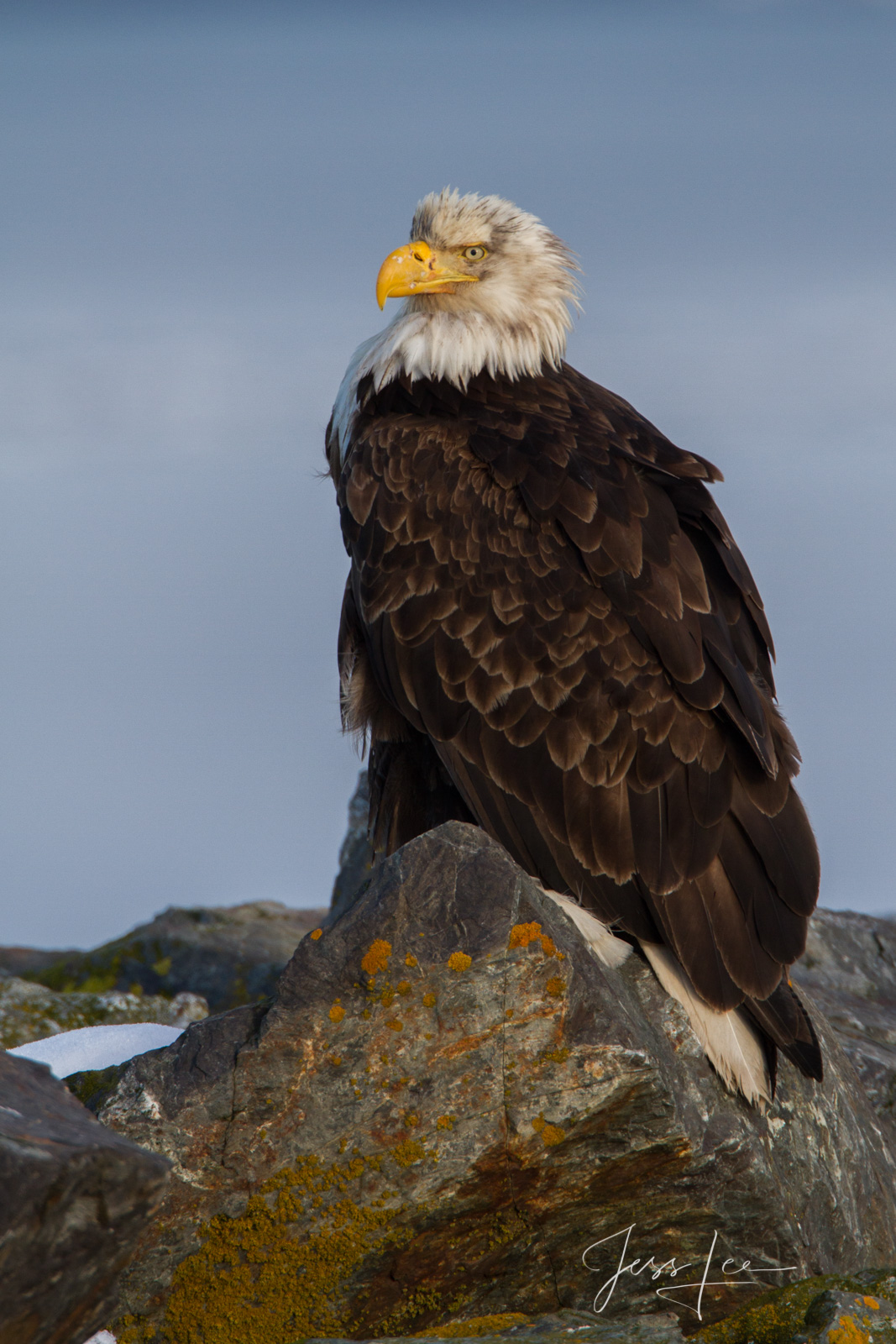 Bring home the power and beauty of the amazing fine art American Bald Eagle photograph Tough Guy by Jess Lee from his Wildlife...