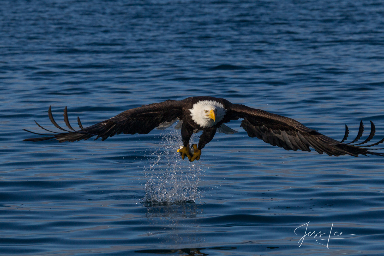 Bring home the power and beauty of the amazing fine art American Bald Eagle photograph Glidepath by Jess Lee from his Wildlife...