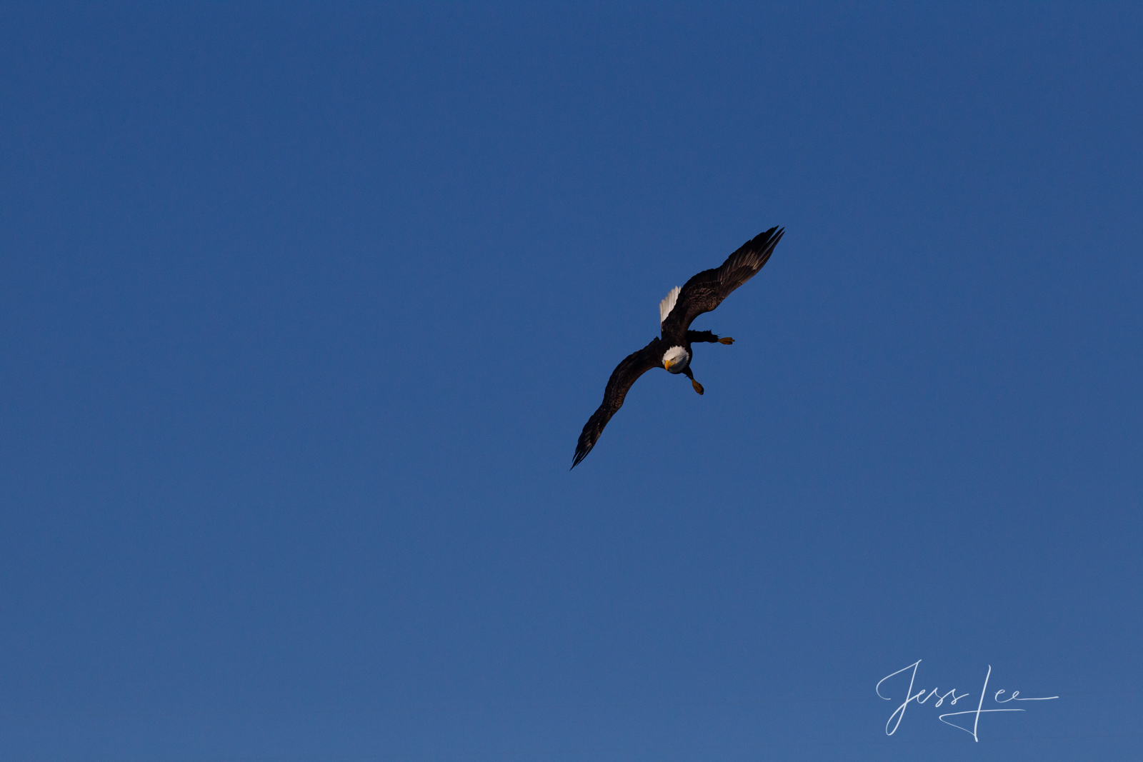 Bring home the power and beauty of the amazing fine art American Bald Eagle photograph Out There by Jess Lee from his Wildlife...