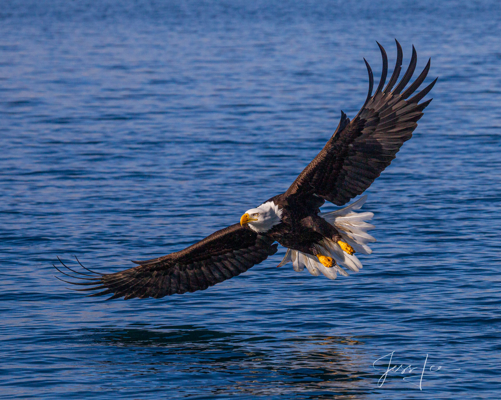 Bring home the power and beauty of the amazing fine art American Bald Eagle photograph Concentration  by Jess Lee from his Wildlife...
