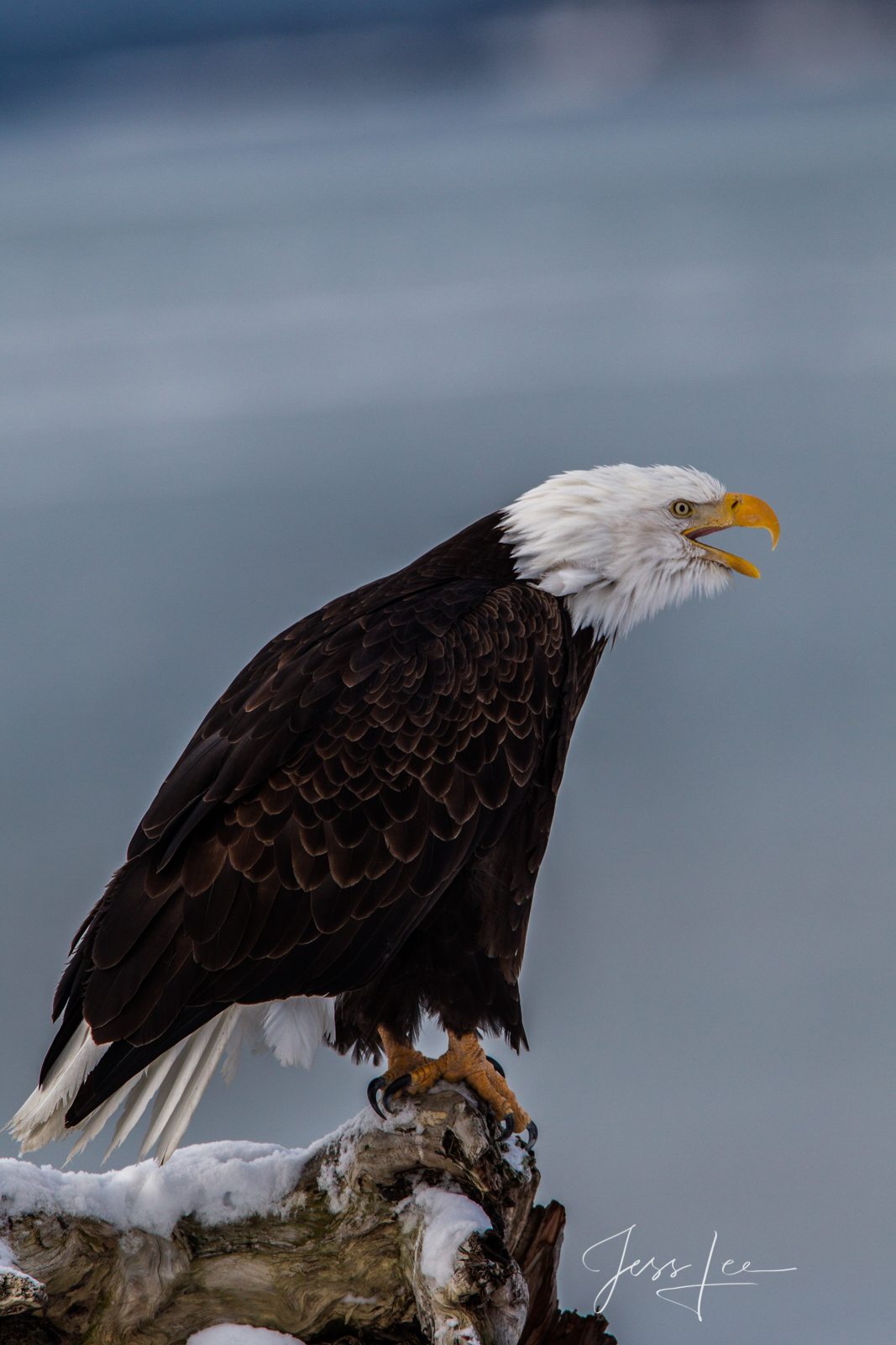 Bring home the power and beauty of the amazing fine art American Bald Eagle photography by Jess Lee from his Wildlife Photography...