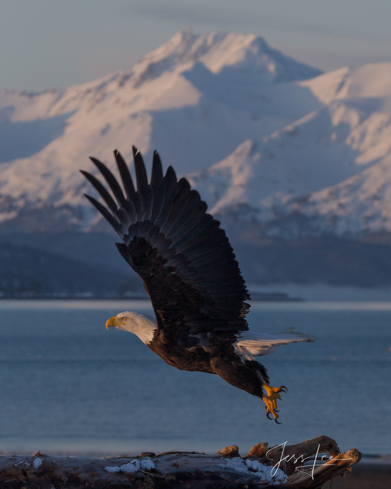 Bring home the power and beauty of the amazing fine art American Bald Eagle photograph Fly by by Jess Lee from his Wildlife Photography...