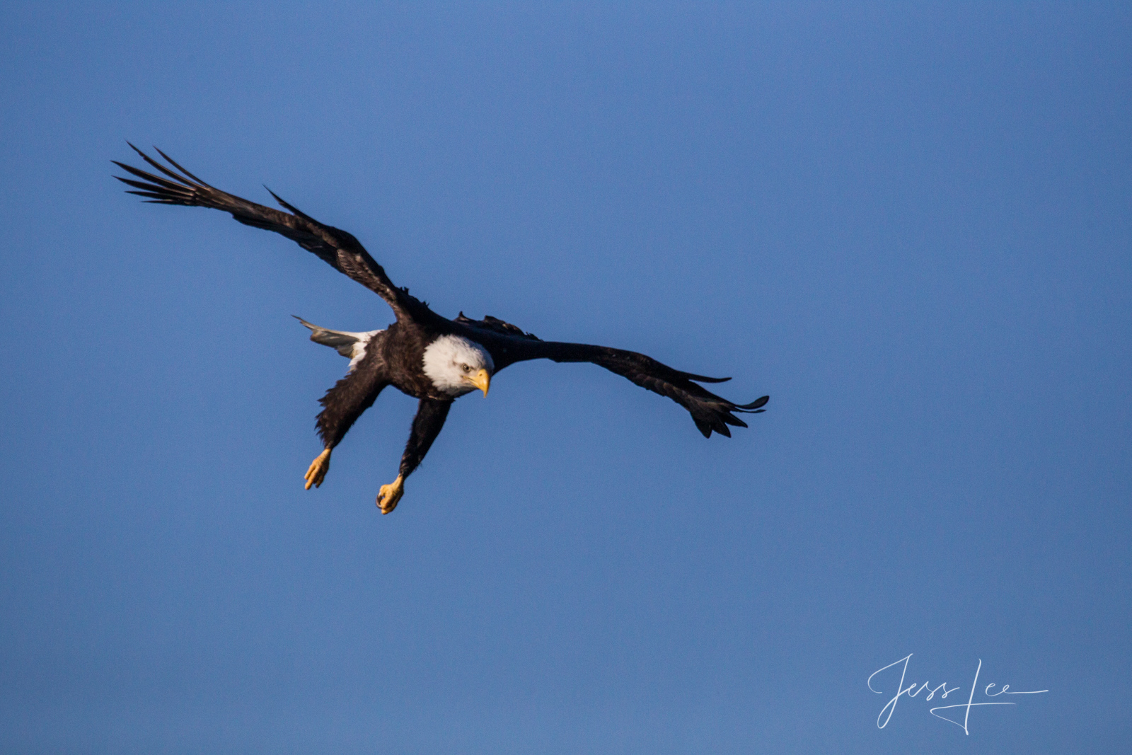 American Eagle Photograph, Picture of a Bald Eagle, Flying, perching,, photo