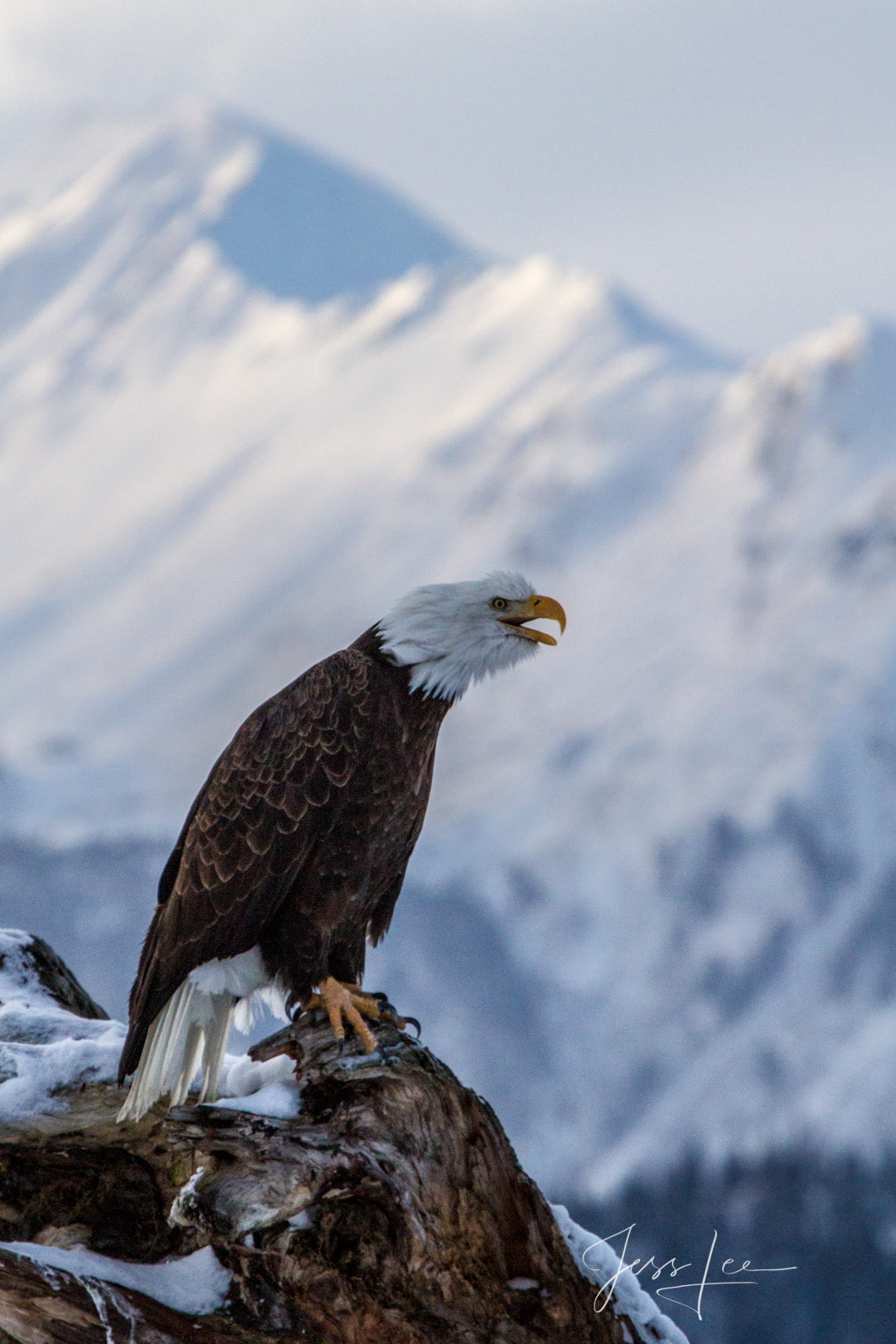 Bring home the power and beauty of the amazing fine art American Bald Eagle photograph Chatter Box by Jess Lee from his Wildlife...
