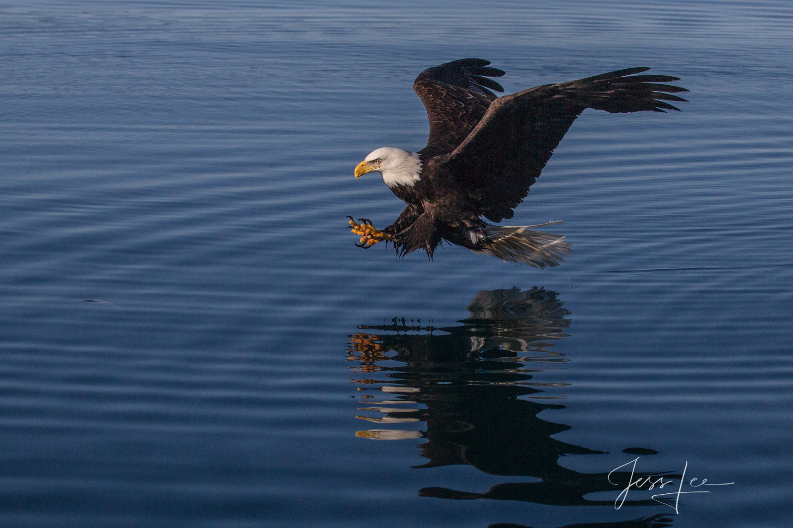 Bring home the power and beauty of the amazing fine art American Bald Eagle photograph Over Target by Jess Lee from his Wildlife...