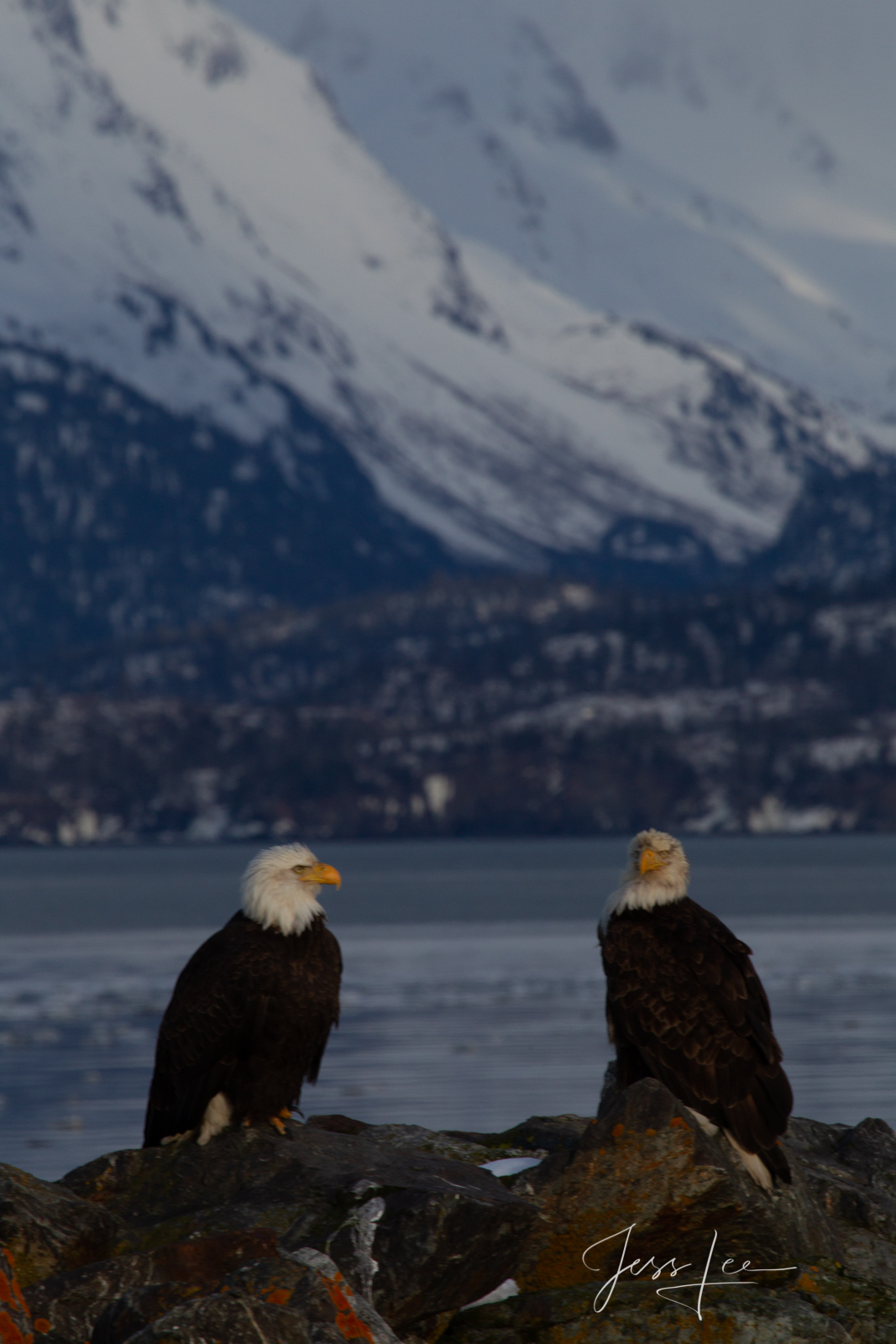 Bring home the power and beauty of the amazing fine art American Bald Eagle photograph Togetherness by Jess Lee from his Wildlife...