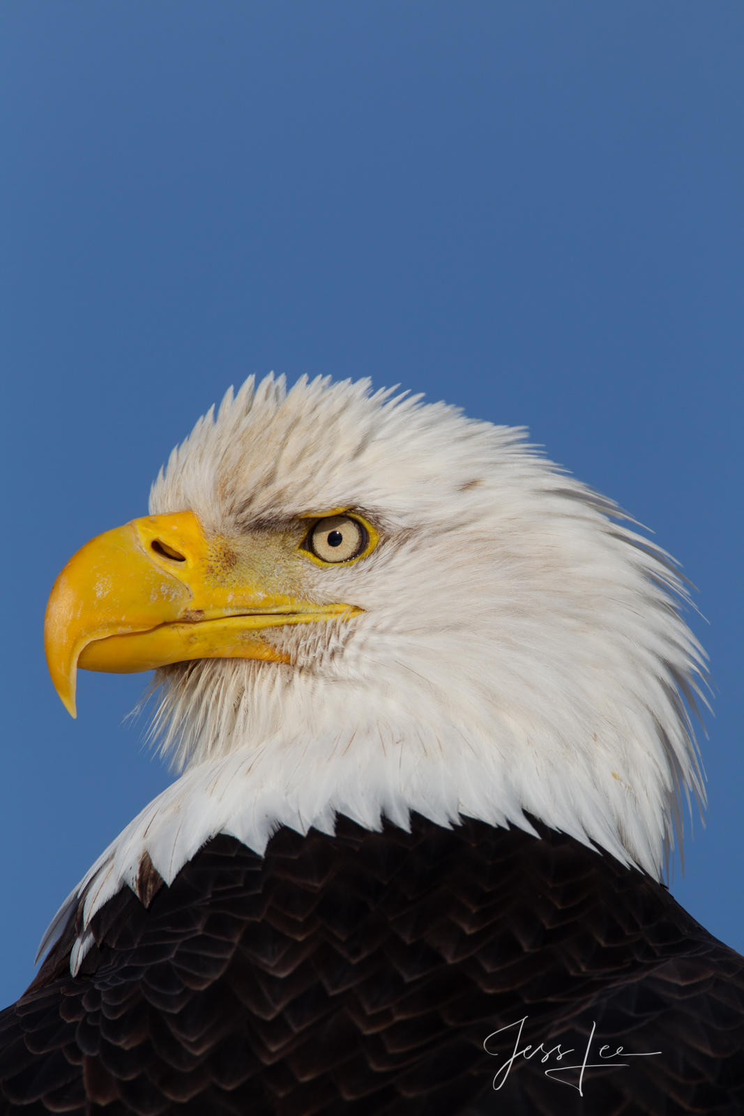 Bring home the power and beauty of the amazing fine art American Bald Eagle photograph What? by Jess Lee from his Wildlife Photography...
