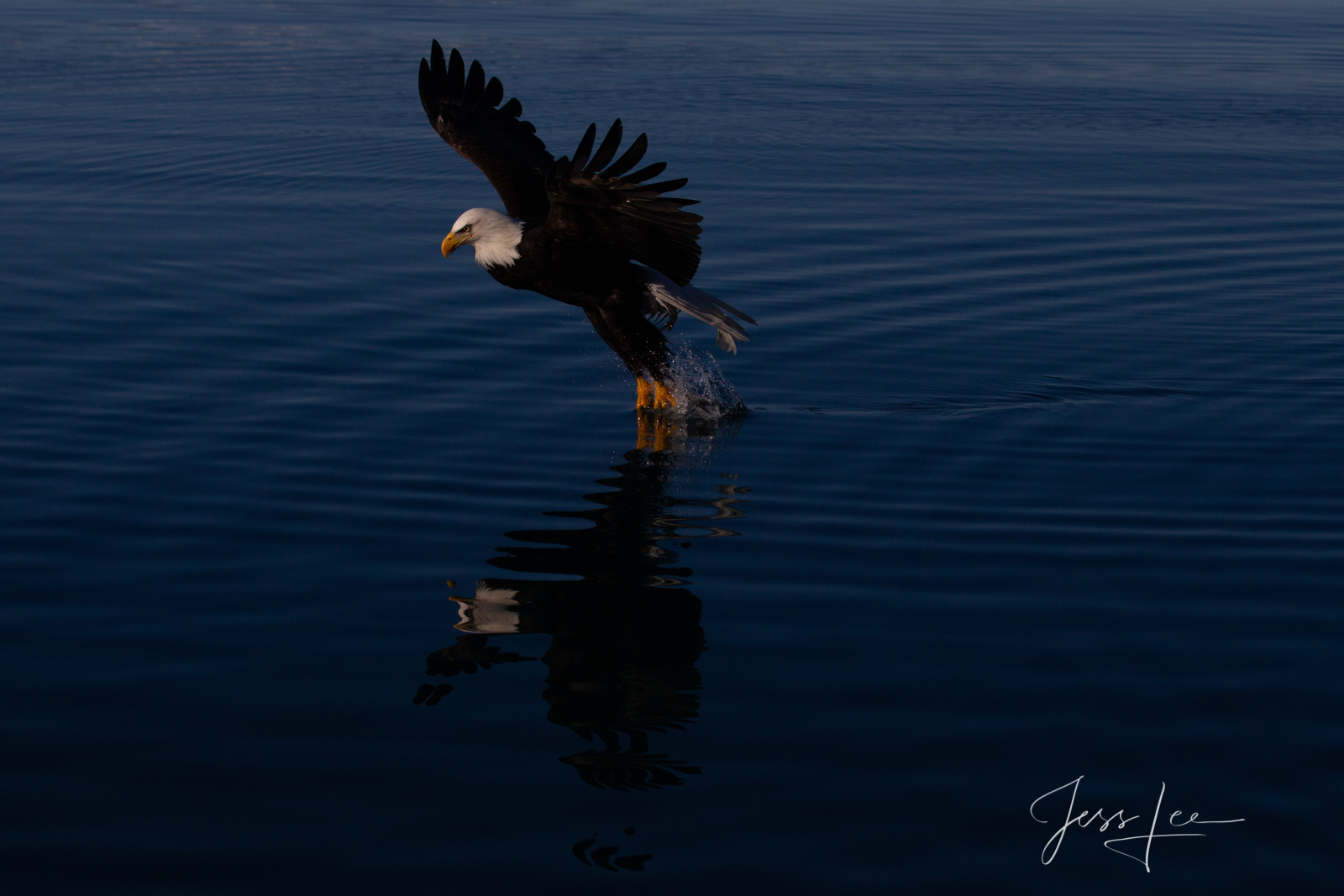 Bring home the power and beauty of the amazing fine art American Bald Eagle photograph The flight by Jess Lee from his Wildlife...