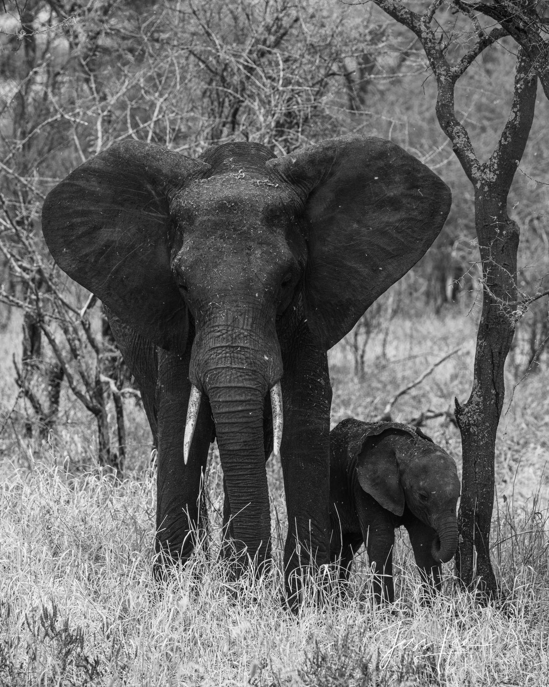 Black and White photo of African elephant and baby in the forest