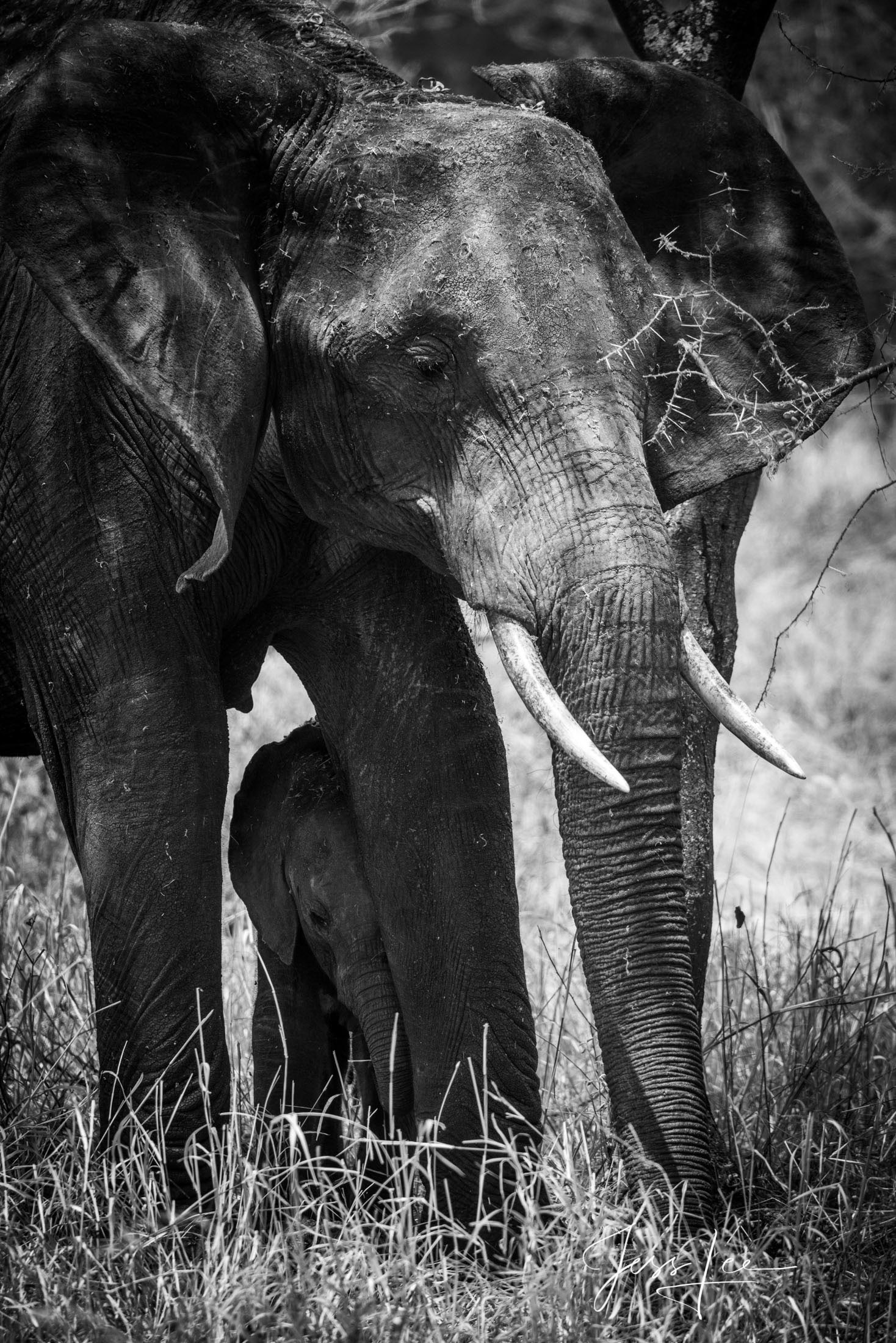 Black and White photo of African elephant and baby.