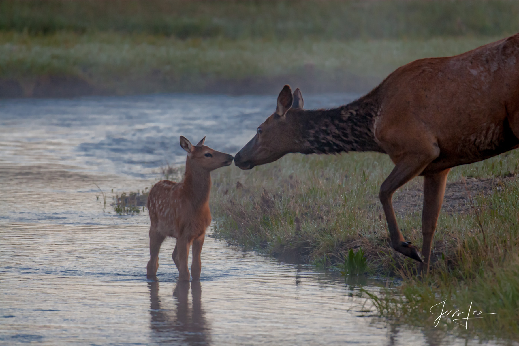 Elk Calf and Mom Limited Edition of 800 Exclusive high-resolution Museum Quality Fine Art Prints. Photos copyright © Jess Lee...