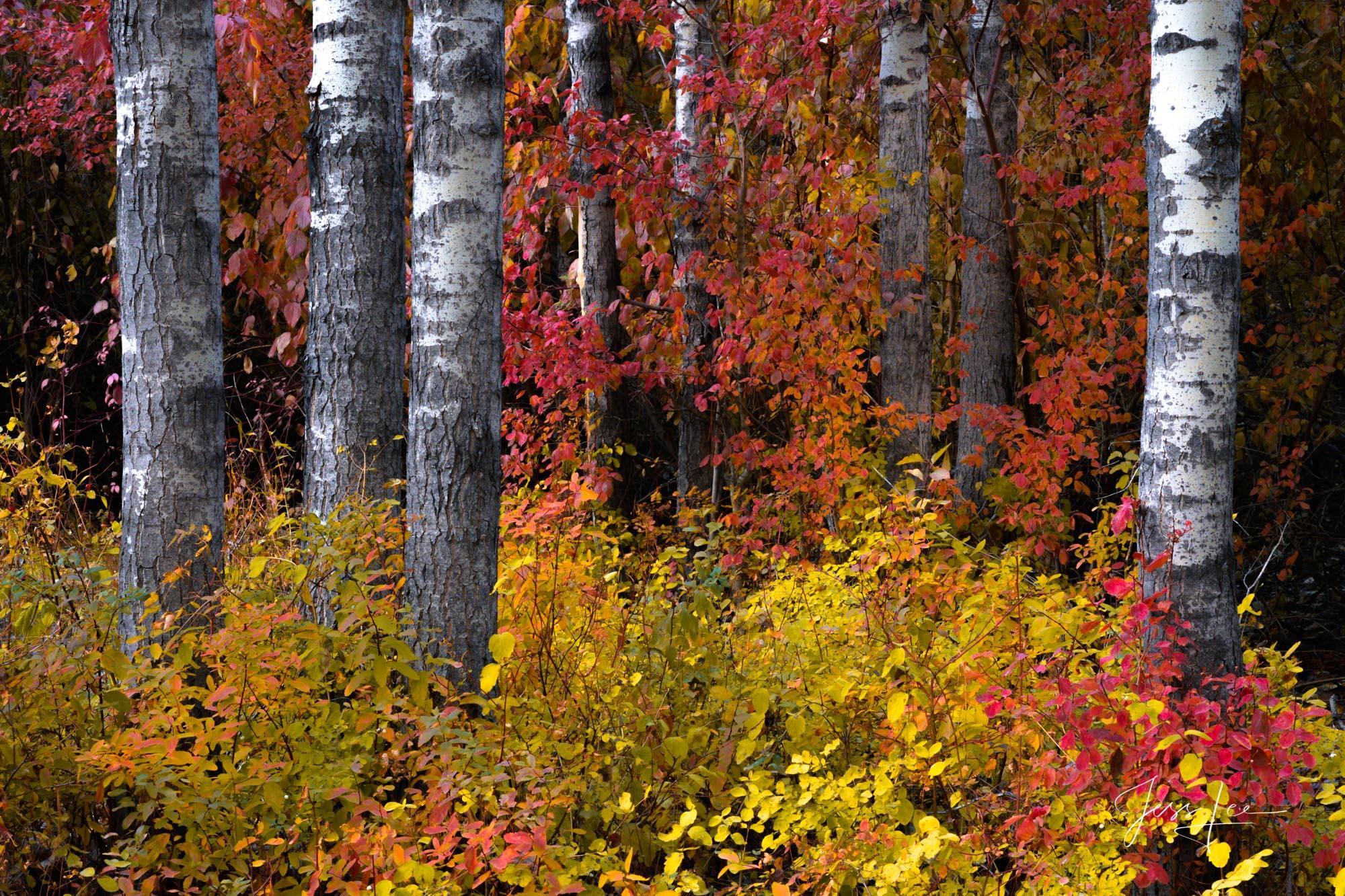 Fine Art Limited Edition Photography of Washington. Autumn Tree Cluster, Washington Autumn Landscapes, Rivers, waterways.This...
