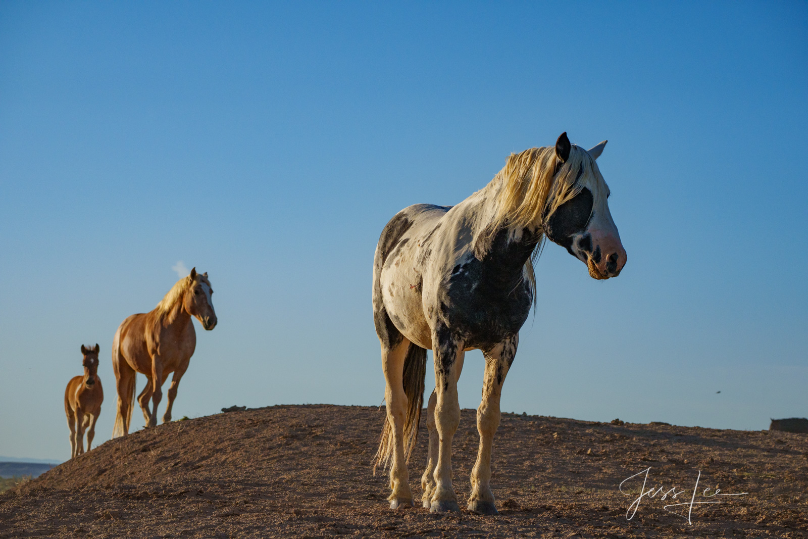Fine Art Limited Edition Photography of Wild Herd of Mustang Horses. Wild Horses or Mustang herd. This is part of the luxurious...