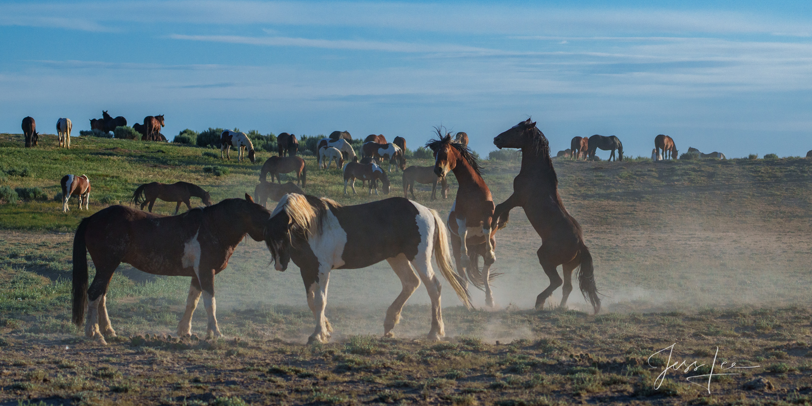 Fine Art Limited Edition Photography of Wild Herd of Mustang Horses. Wild Horses or Mustang herd. fight This is part of the luxurious...