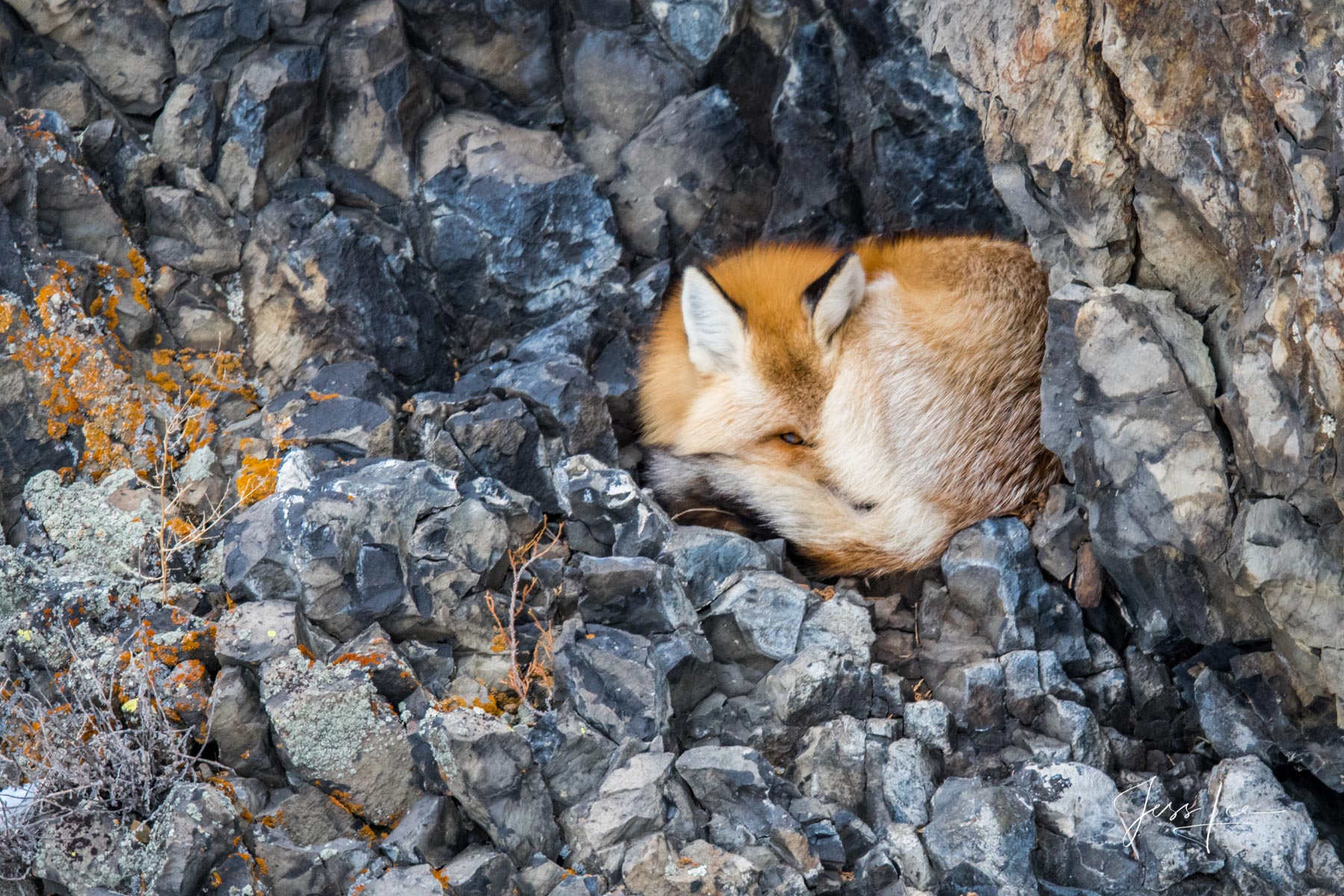Fine Art Limited Edition of 50 photographic prints of a Yellowstone Fox in its den. © Jess Lee