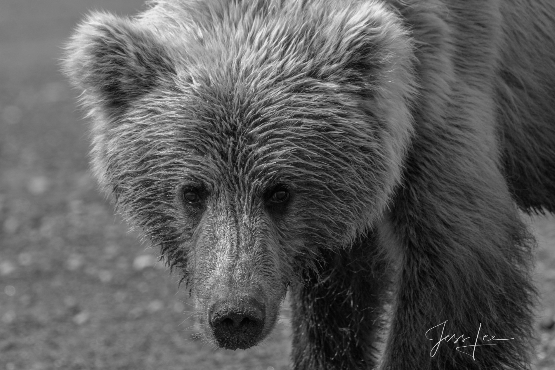 Young Male Grizzly