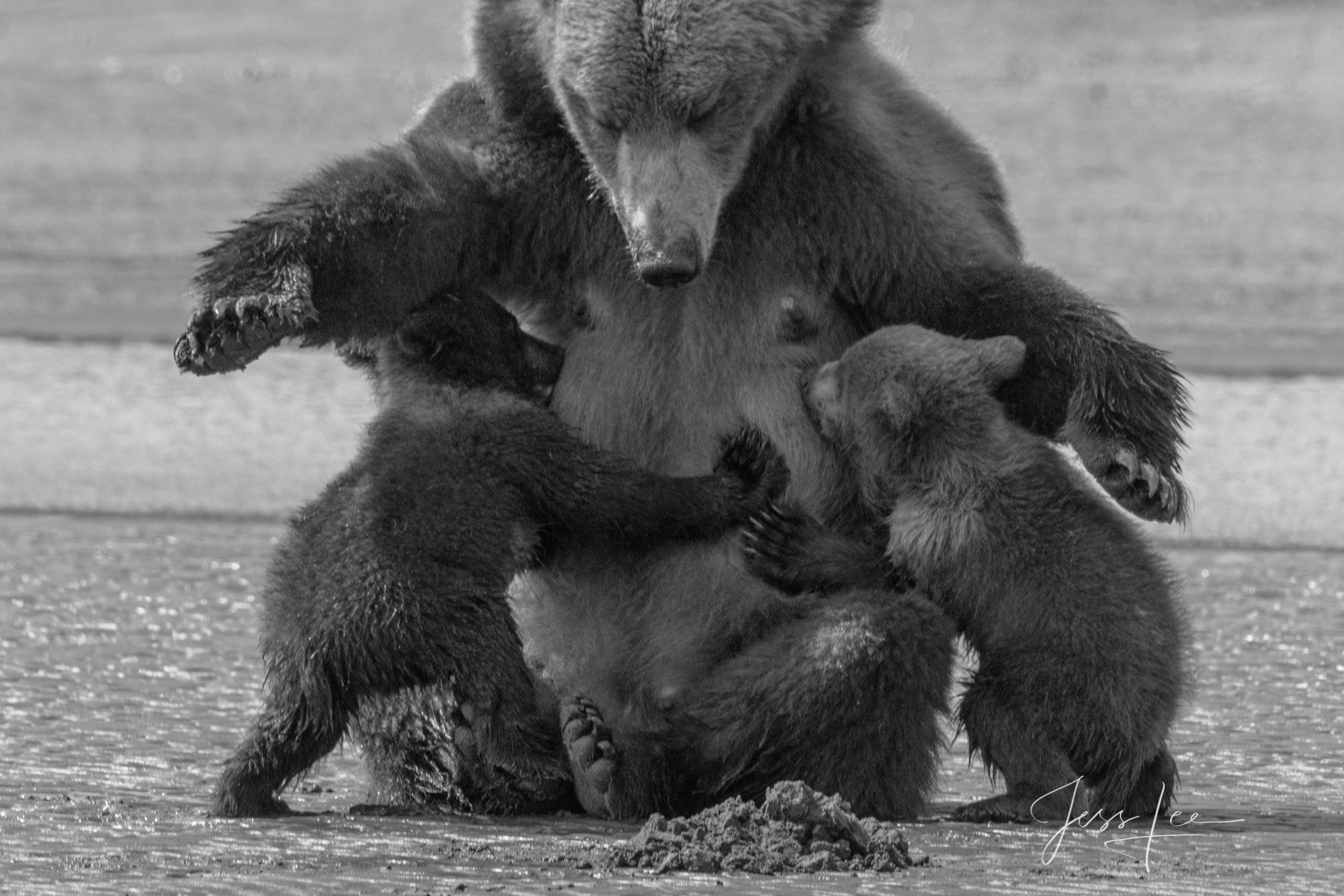 Grizzly Bear nursing Black and White Gallery Print