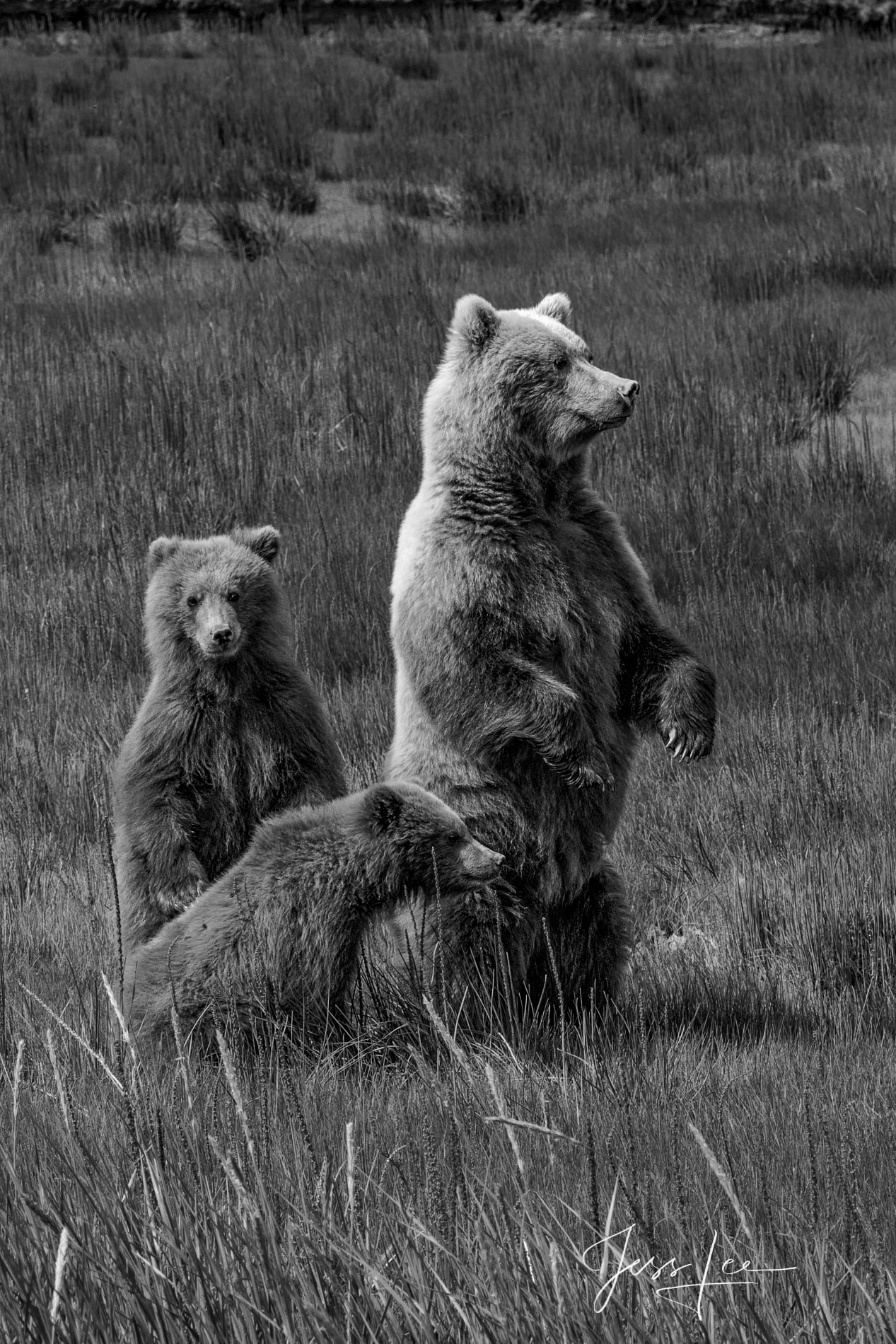 Grizzly Bear Gallery Print
