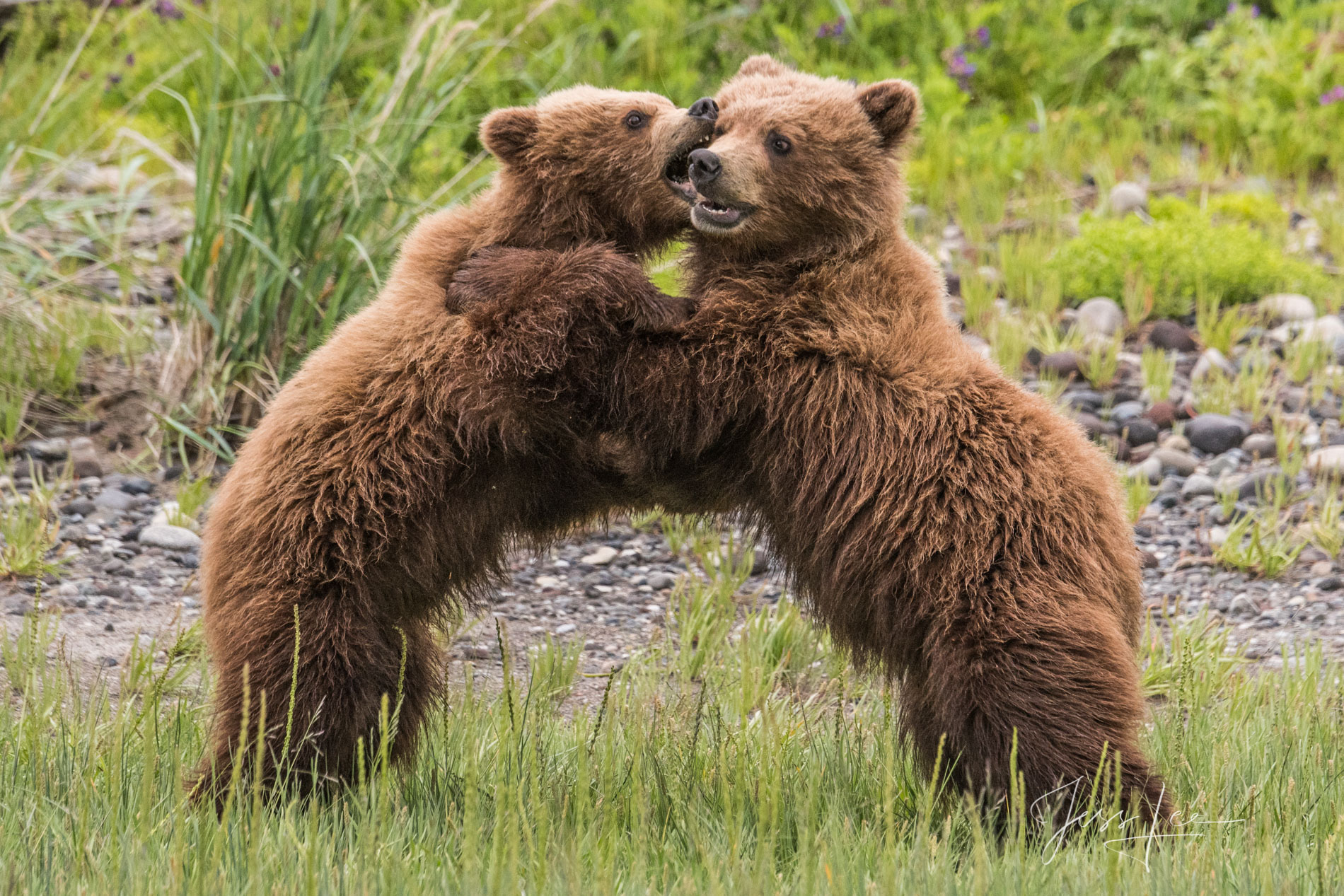 Grizzly Bear  fine art limited edition of 300 prints