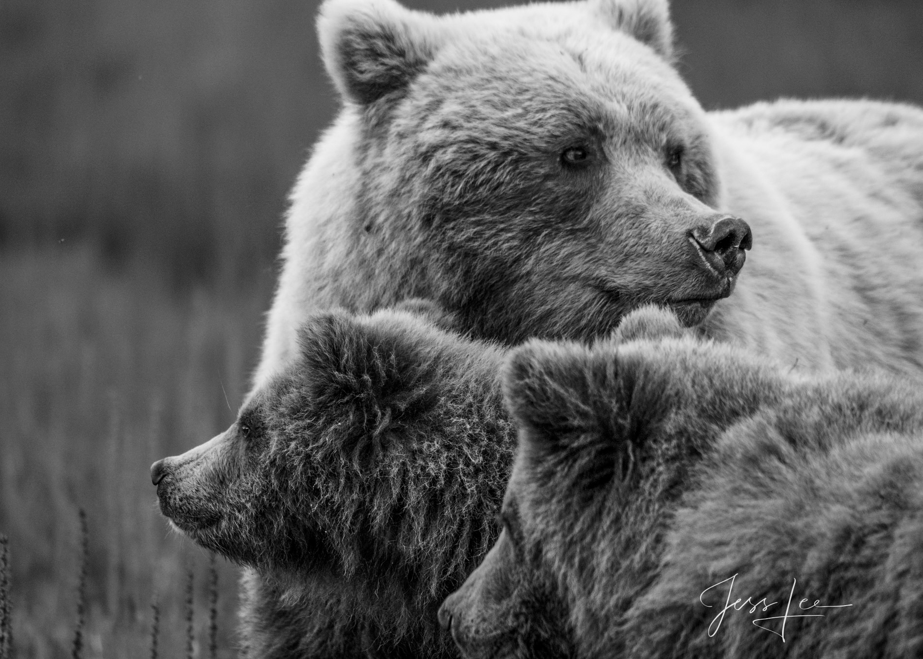 Mom and cubs looking for dangerous Male bears