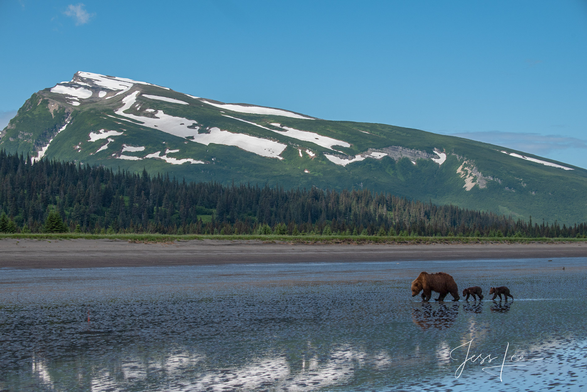 Grizzly Bears Reflecting on the coast  fine art limited edition of 300 prints