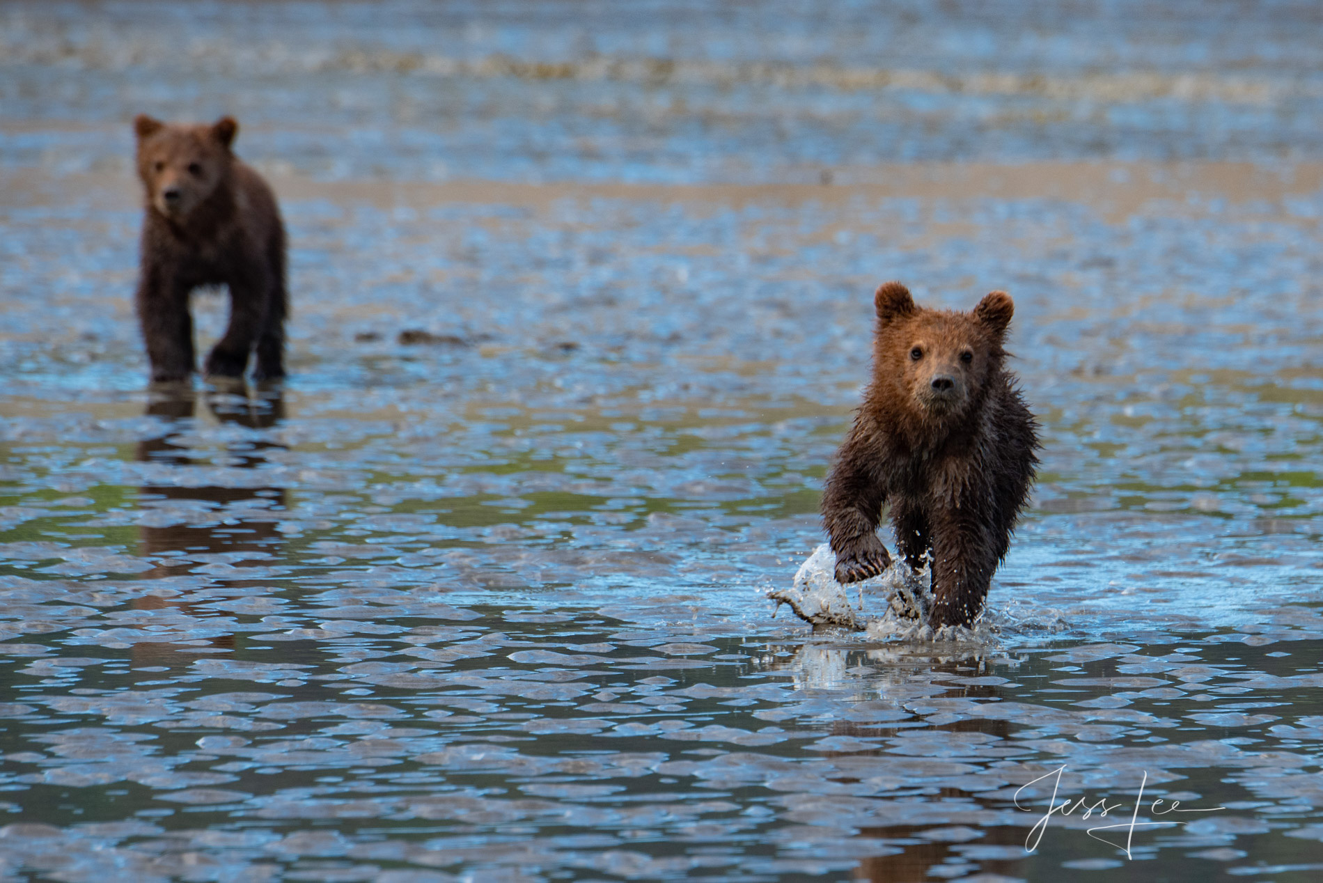 Grizzly Bear Cub play charging. A fine art limited edition of 300 prints