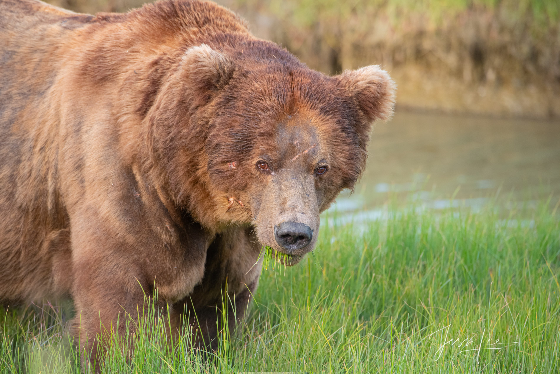 Big old male Grizzly Bear.  Fine art limited edition of 300 prints