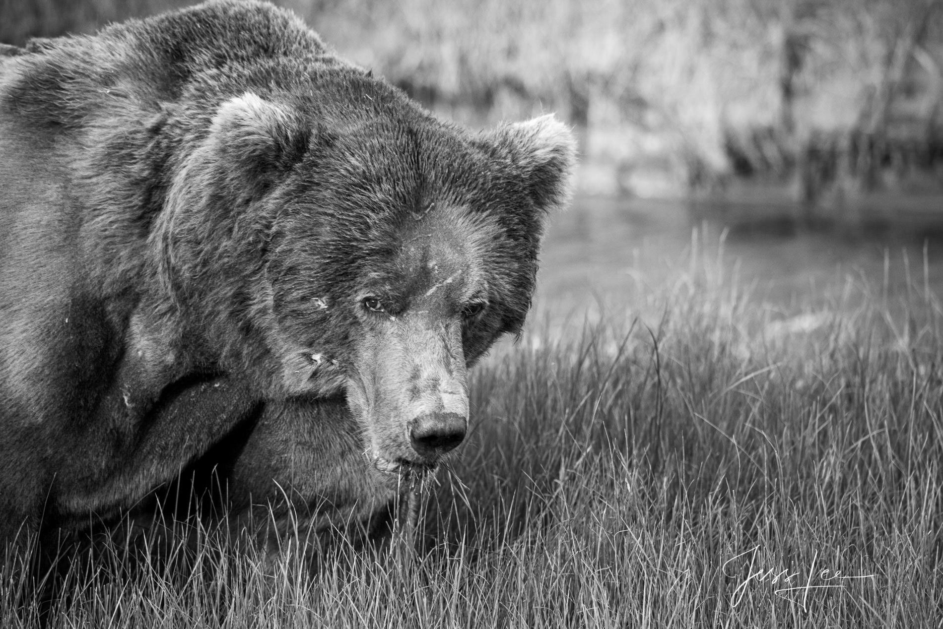 Grizzly, bear, Alaska, print, black and white,, photo