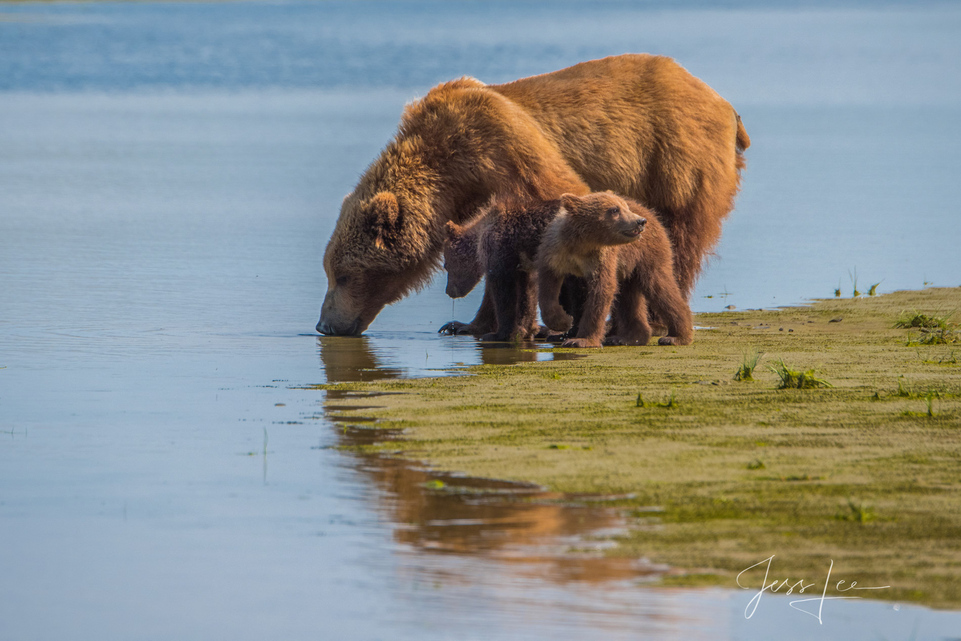 Grizzly Bear and cub drinking, fine art limited edition of 300 prints