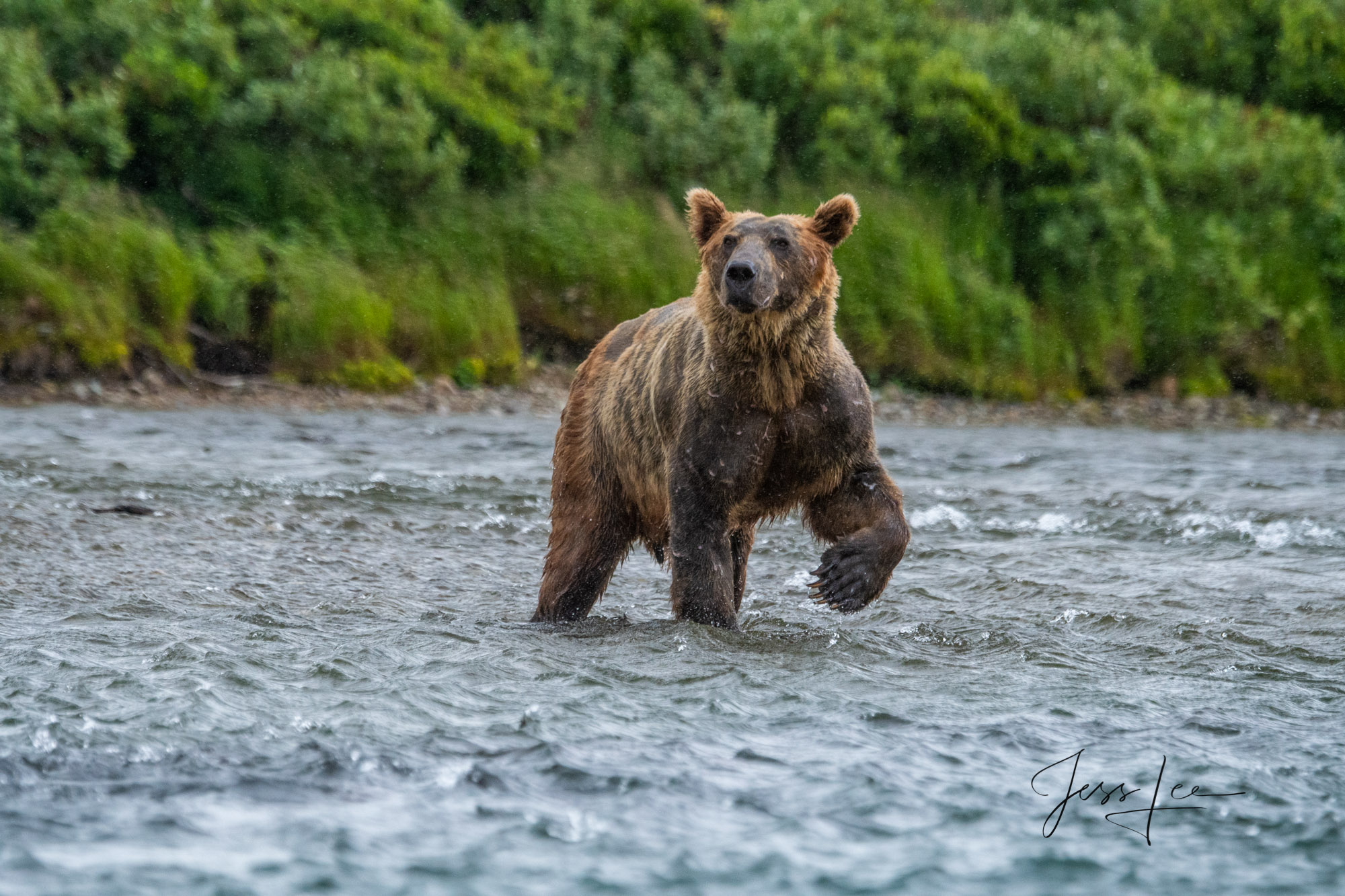 Grizzly bear interrupted while fishing for salmon in Katmai National Park, Alaska