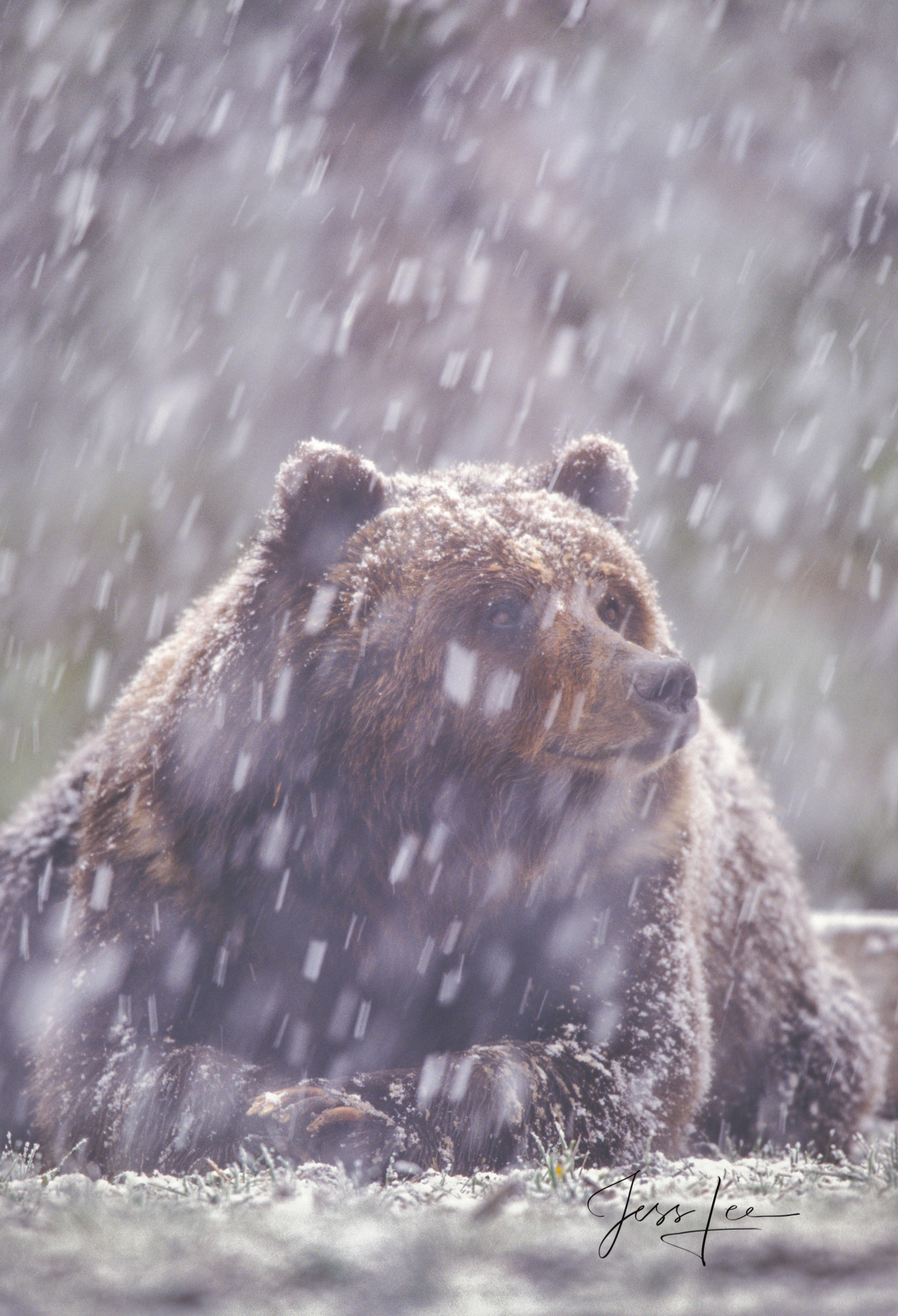 Grizzly Bear in Yellowstone Spring snow. Limited Edition of 800 prints, These Grizzly bear fine art wildlife photographs are...