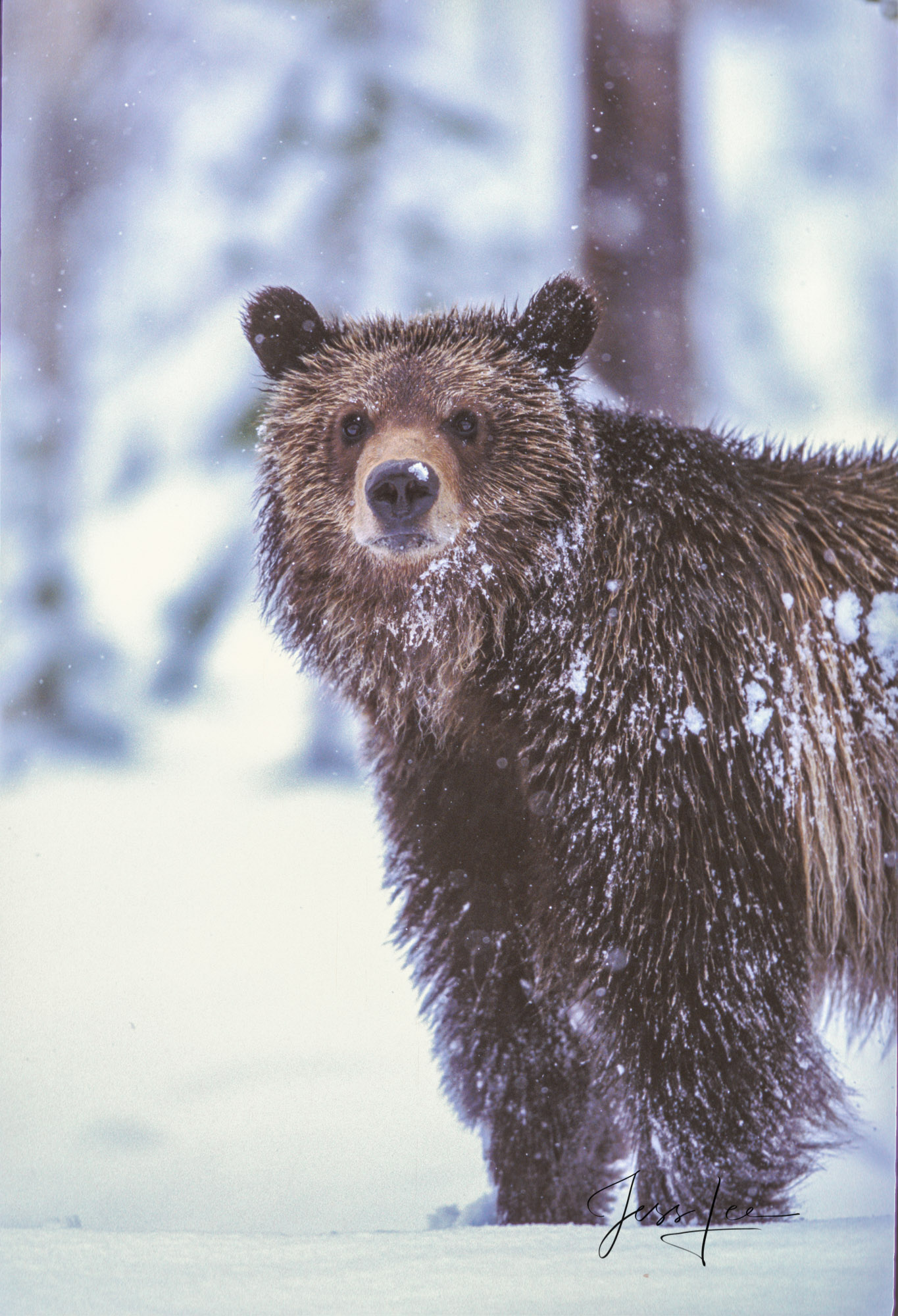 Grizzly, national park, bear, Yellowstone, snow, fine art, winter,, photo