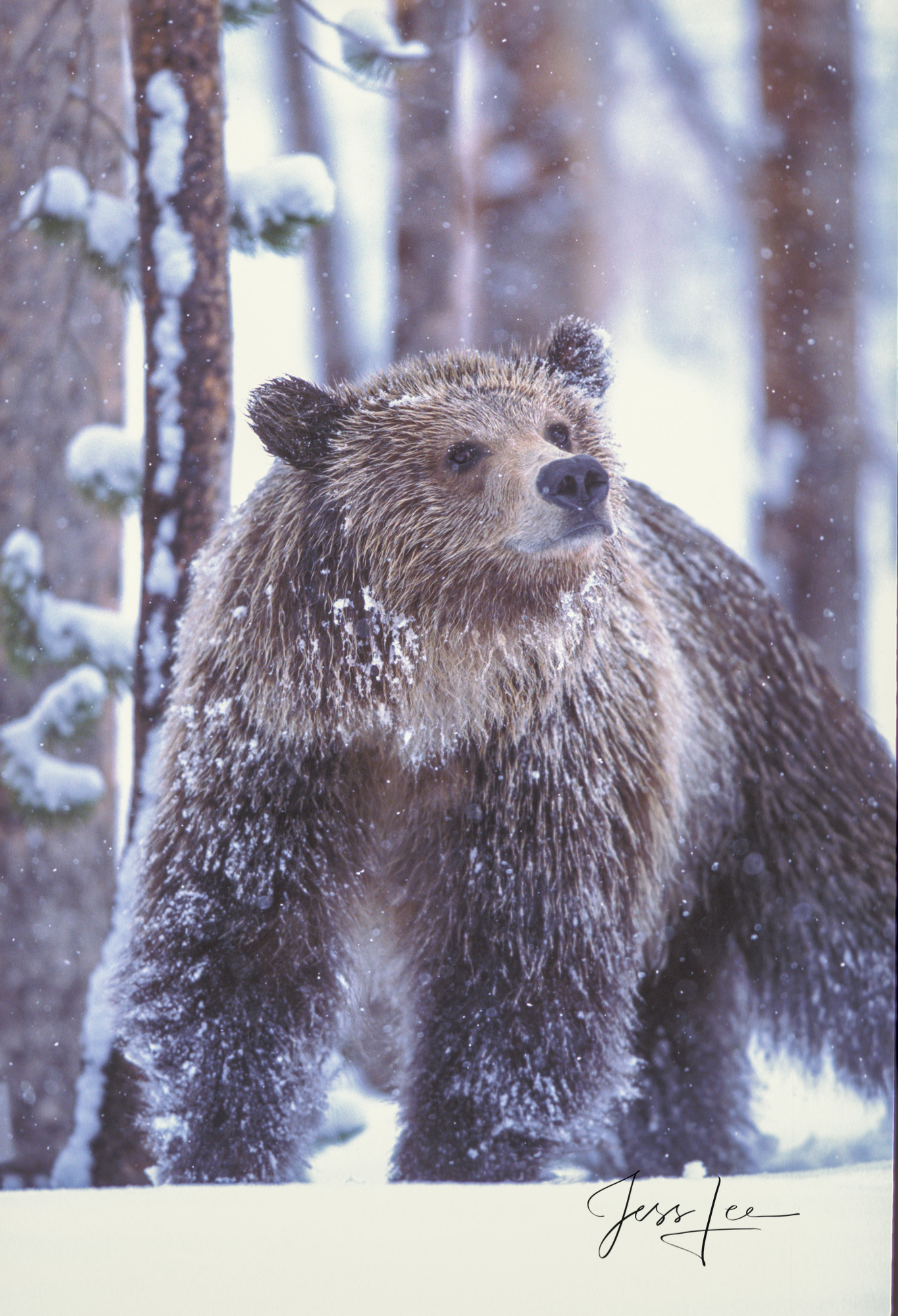 Yellowstone Grizzly in spring snow storm seems curious as it looks at a photographer. Limited edition of 800 prints. These Grizzly...