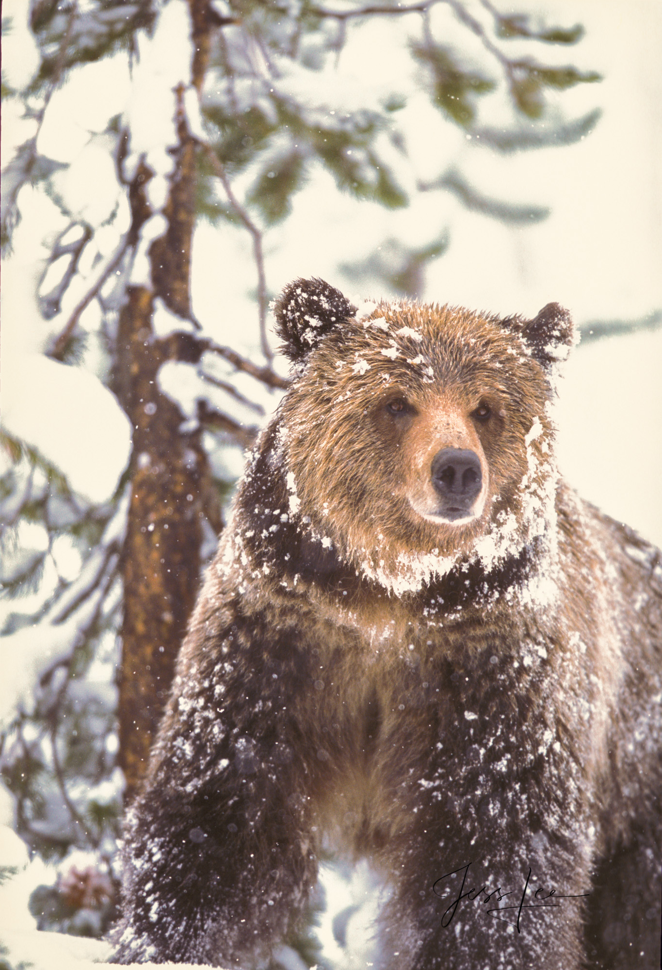 Grizzly, national park, bear, Yellowstone, snow, fine art, winter, , Grizzly Bear Photograph, Grizzly bear picture, Grizzly bear print, photo