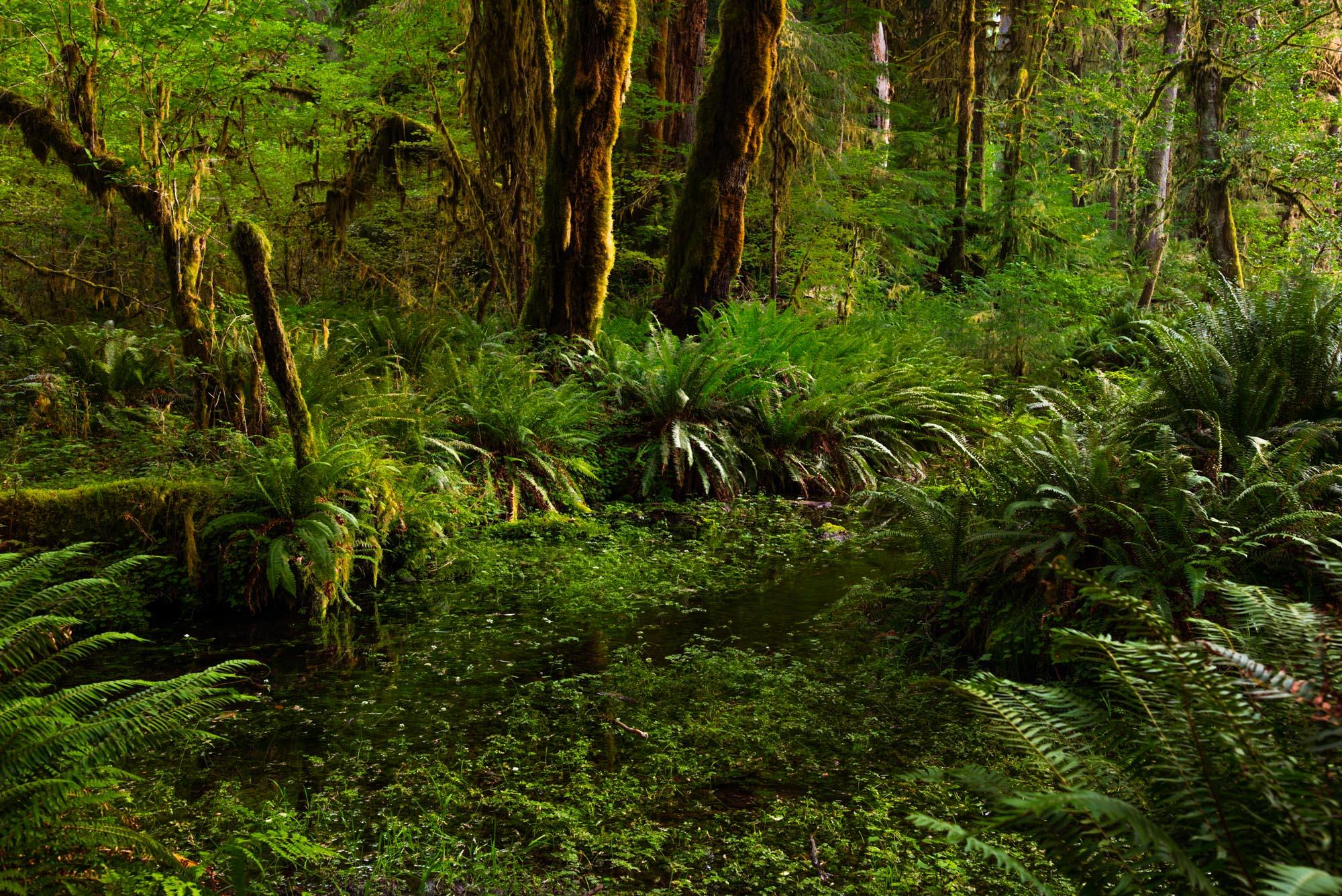 Pacific Northwest Hoe Rainforest large Format Print,, photo