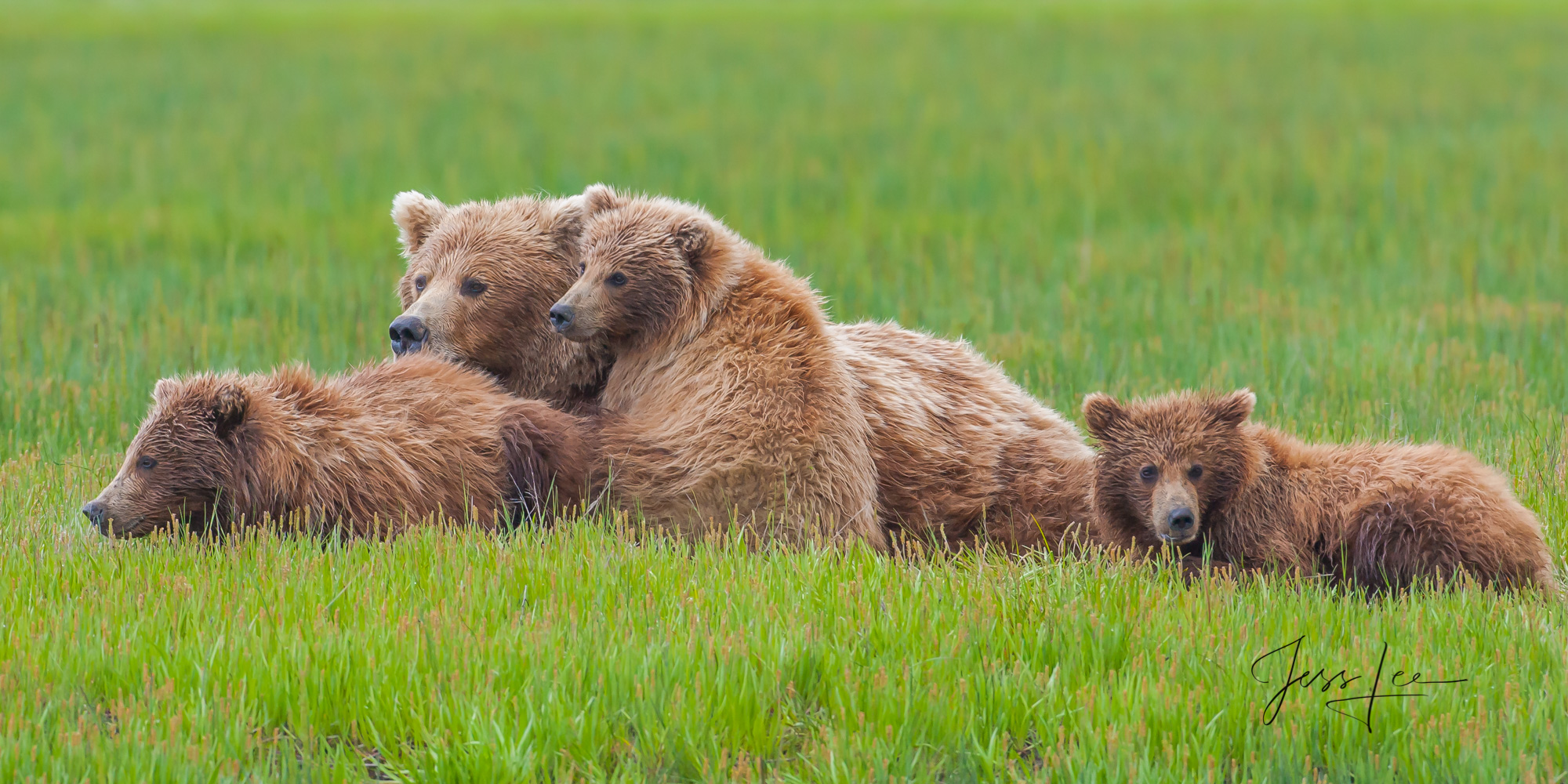 Mother and cubs alert but safe and secure. Limited edition of 800 prints. These Grizzly bear fine art wildlife photographs are...