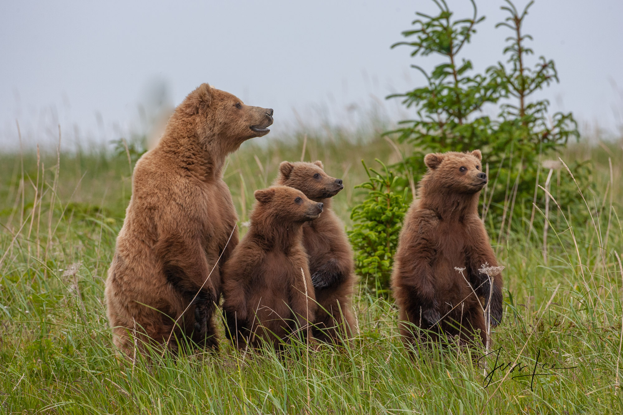 Mother and cubs standing on the alert looking at male bear. Limited Edition of 800 prints These Grizzly bear fine art wildlife...