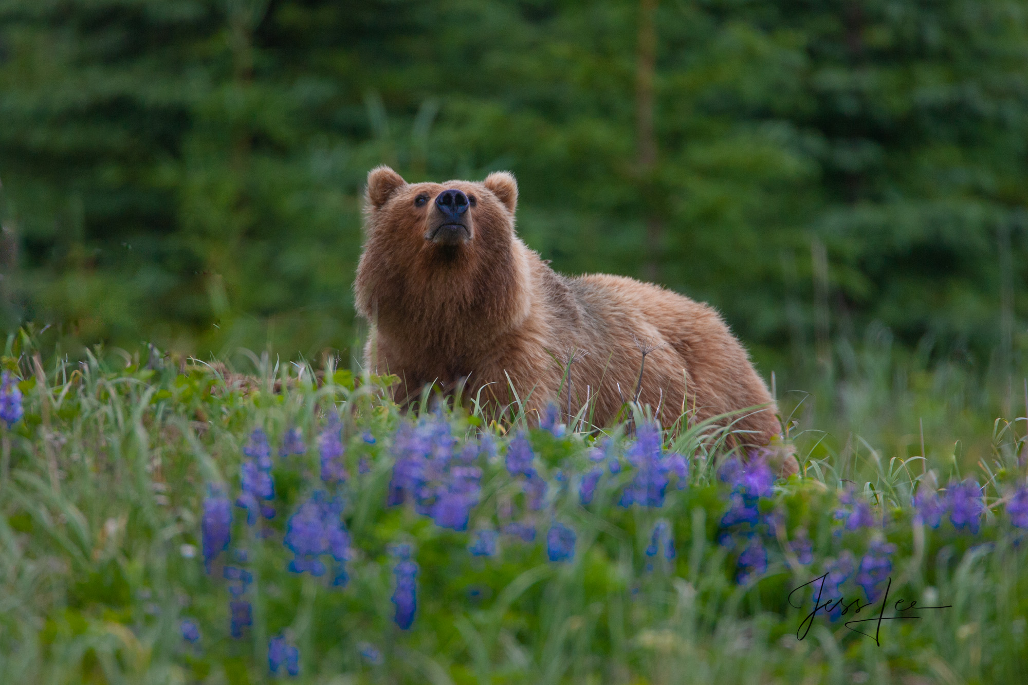 Alaska Grizzly sniffing the air. Limited edition of 800 prints. These Grizzly bear fine art wildlife photographs are offered...